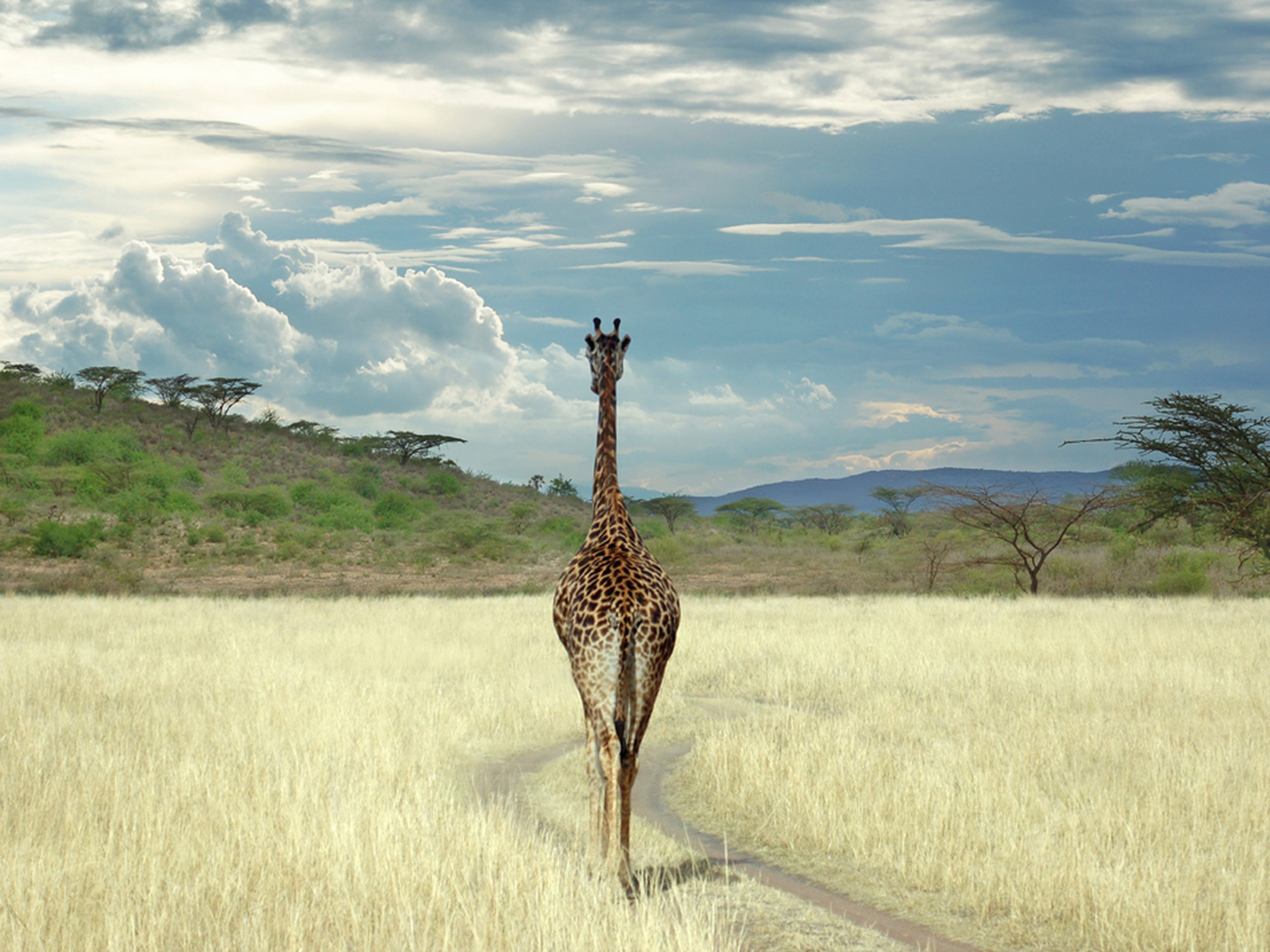 6820 download wallpaper Animals, Sky, Giraffes screensavers and pictures for free
