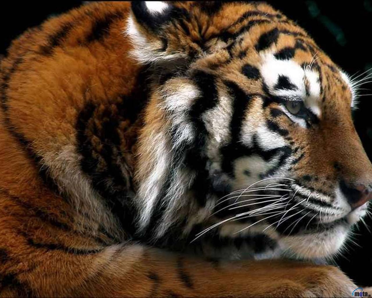 1132 download wallpaper Animals, Tigers screensavers and pictures for free