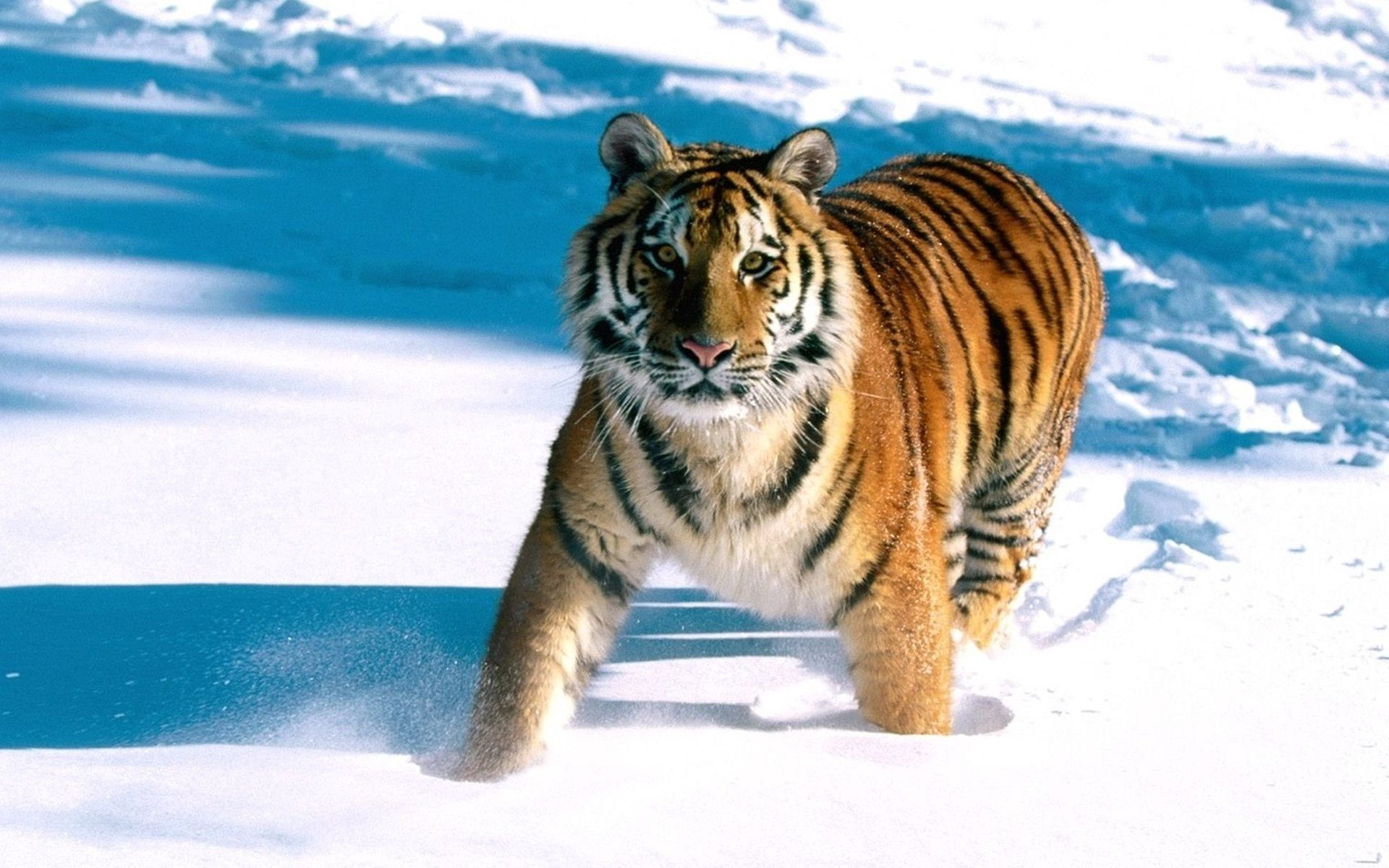 103389 download wallpaper Animals, Tiger, Snow, Run Away, Run, Predator screensavers and pictures for free
