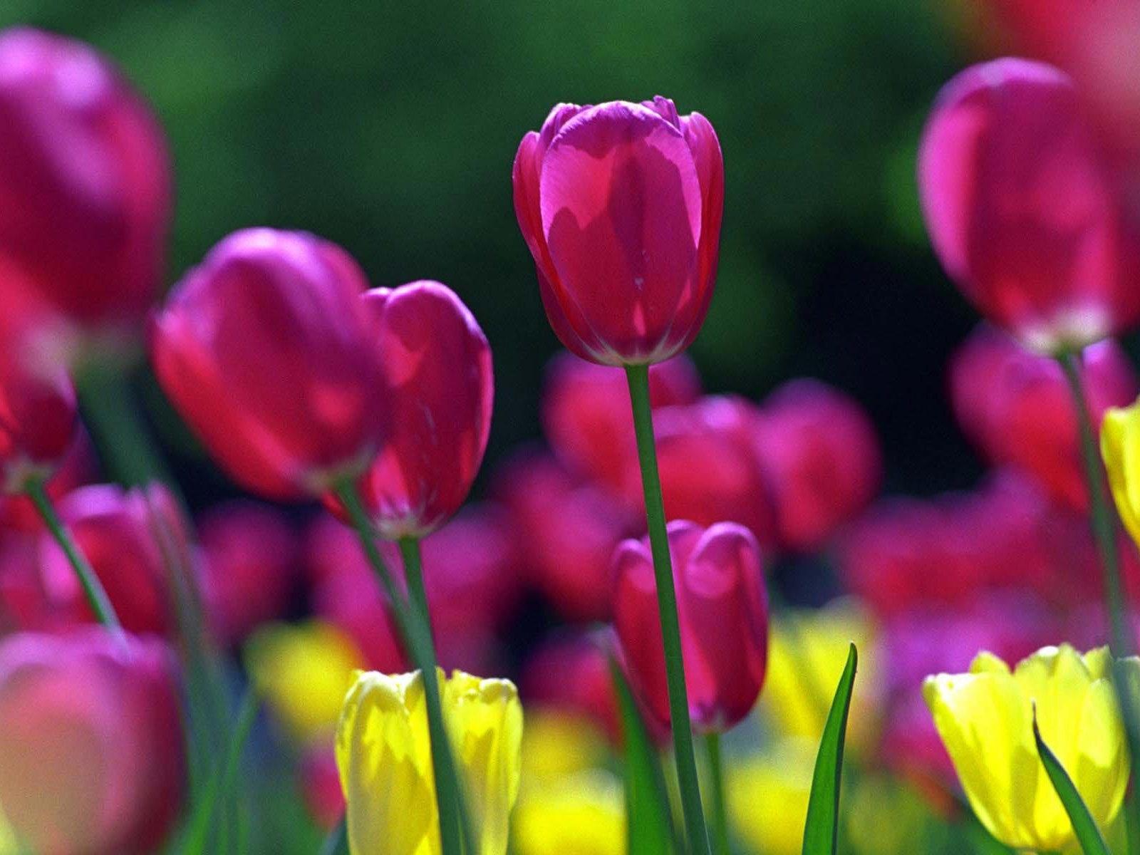 5499 скачать обои Растения, Цветы, Тюльпаны - заставки и картинки бесплатно