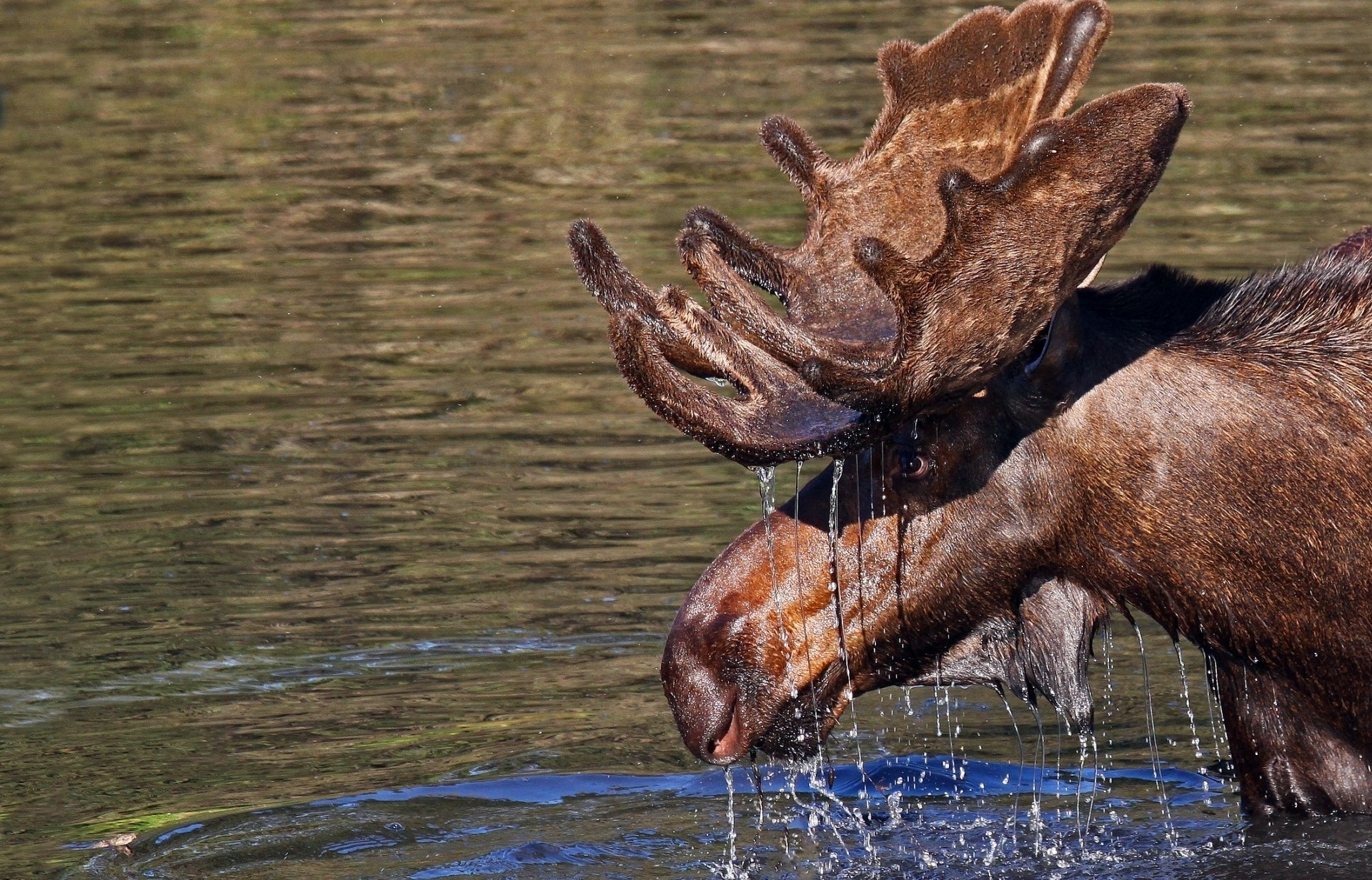 154408 download wallpaper Animals, Water, Elk, Horns, Head, Drops screensavers and pictures for free