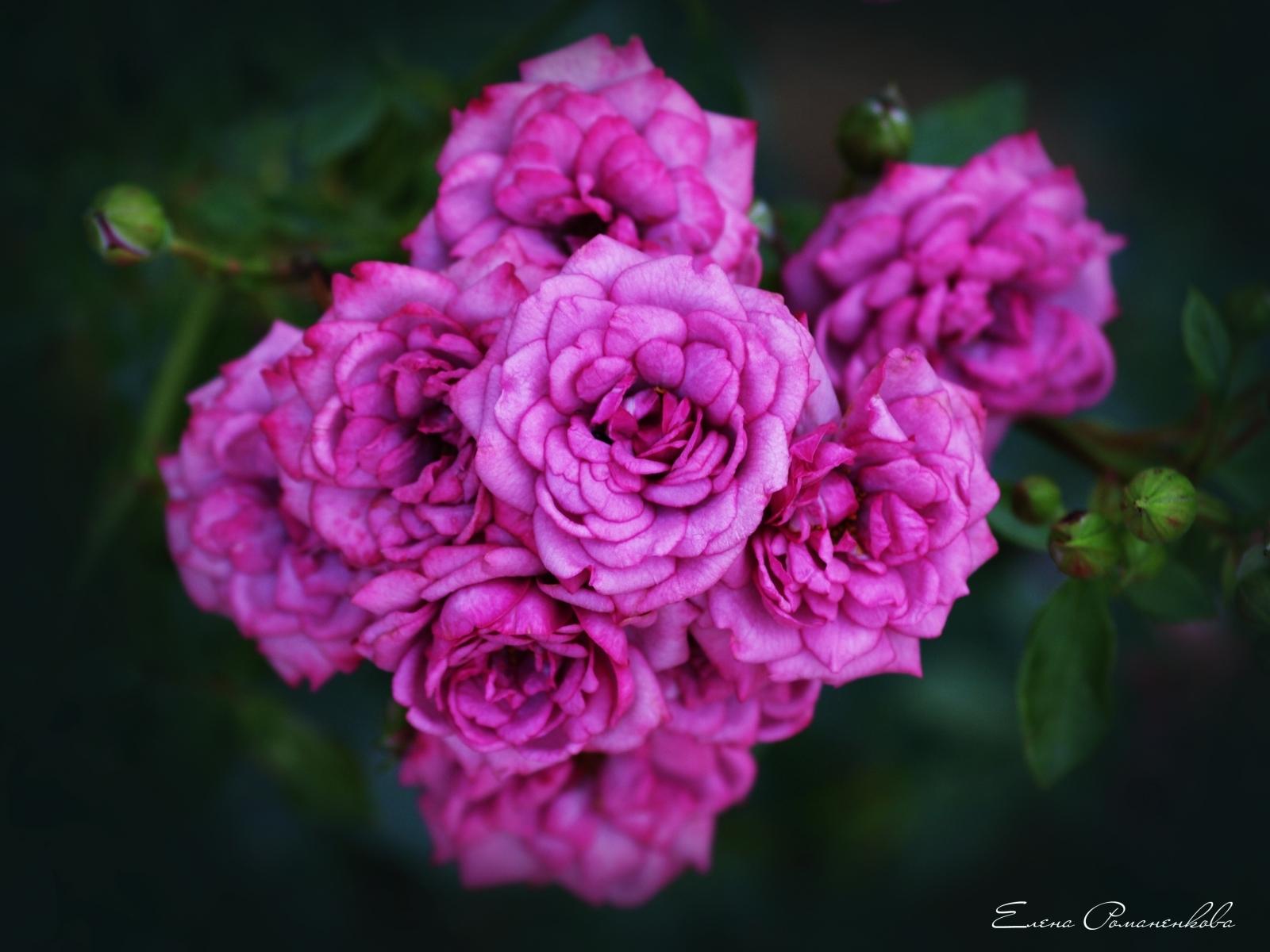 Скачать картинку Розы, Растения, Цветы в телефон бесплатно.