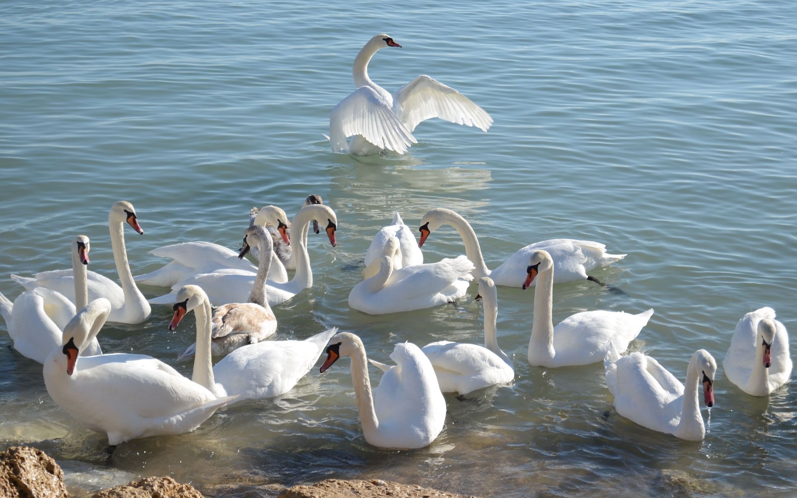41060 download wallpaper Animals, Birds, Swans screensavers and pictures for free
