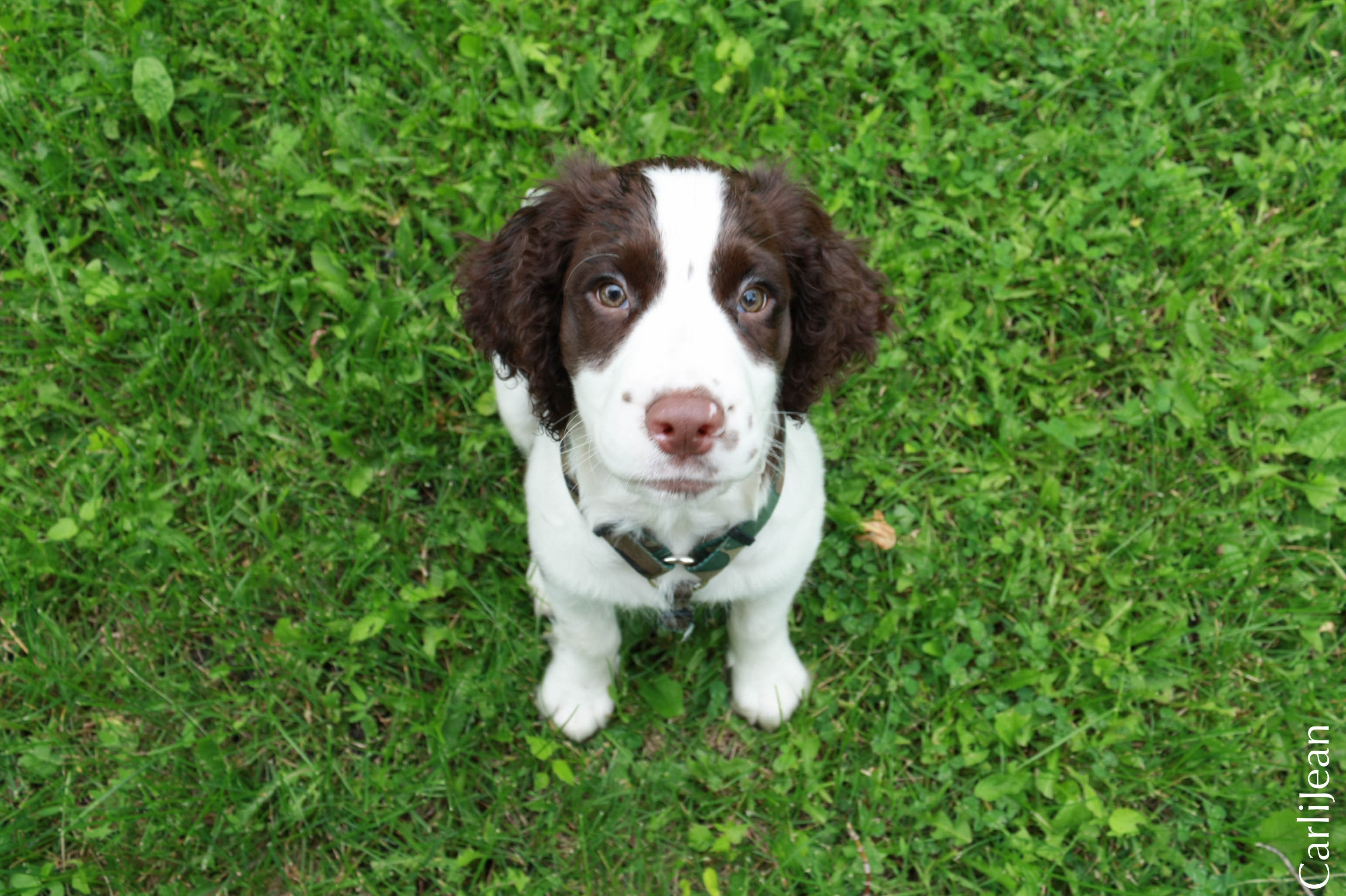 77779 download wallpaper Animals, Spaniel, Puppy, Grass, Sit, Sight, Opinion screensavers and pictures for free