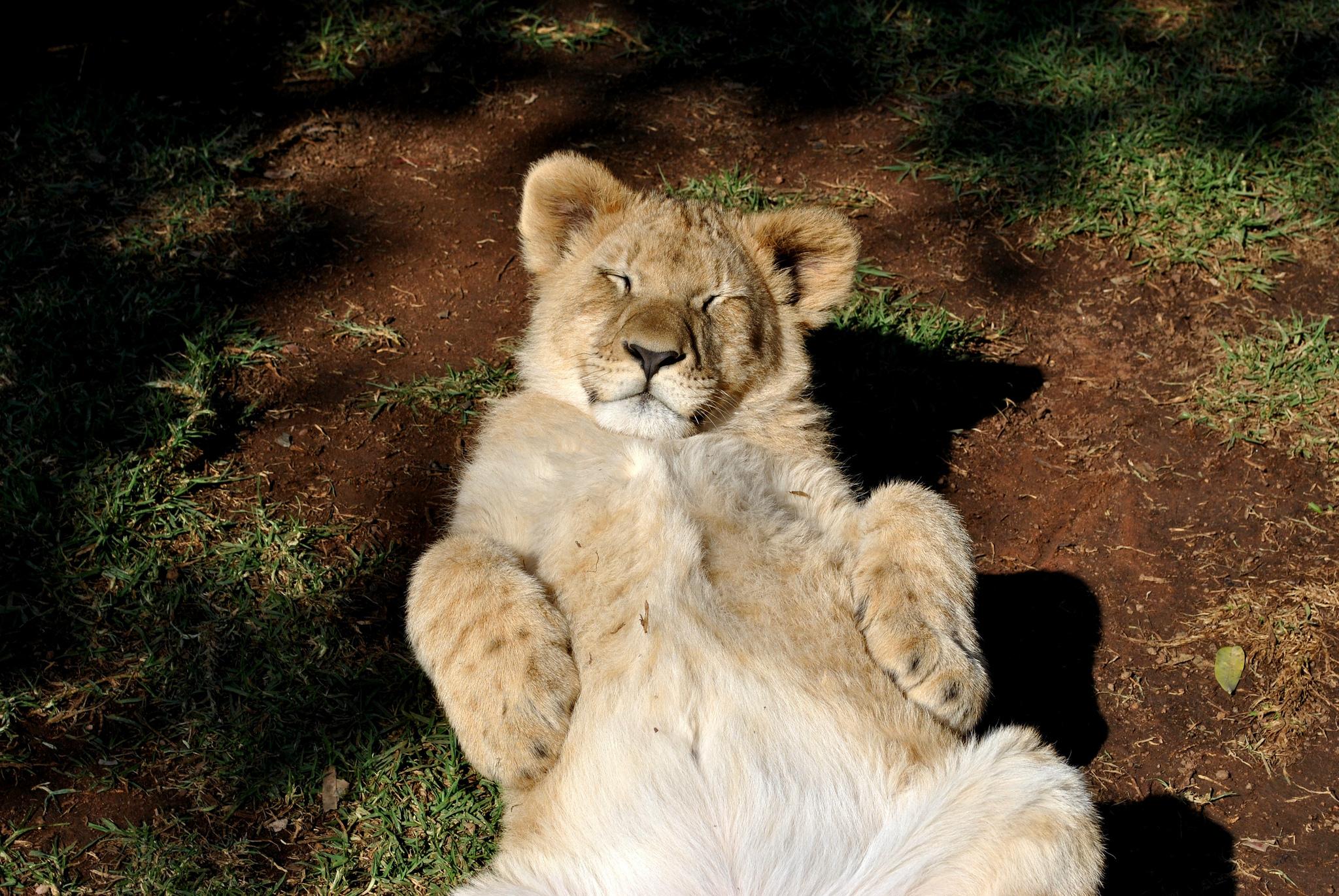 123554 Hintergrundbild herunterladen Tiere, Junge, Löwe, Raubtier, Predator, Entspannung, Ruhepause, Joey, Löwenjunges - Bildschirmschoner und Bilder kostenlos