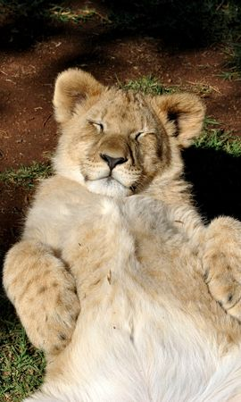 123554 download wallpaper Animals, Lion Cub, Lion, Young, Joey, Predator, Relaxation, Rest screensavers and pictures for free