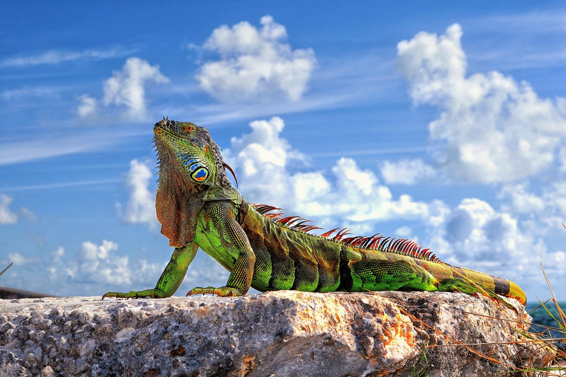 110416 Hintergrundbild herunterladen Tiere, Sky, Clouds, Stein, Eidechse, Ein Stein, Leguan, Iguana - Bildschirmschoner und Bilder kostenlos