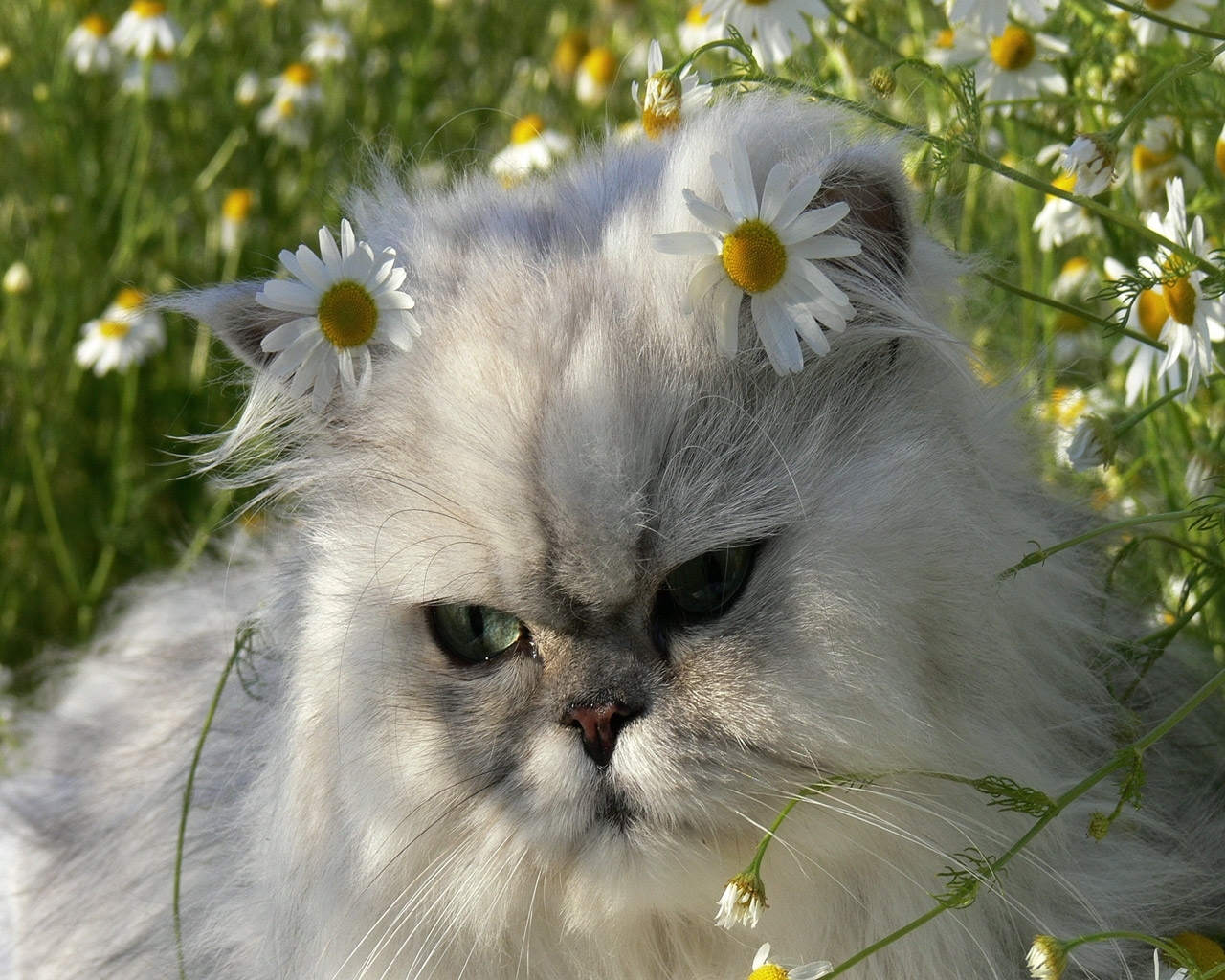 2836 download wallpaper Animals, Cats, Camomile screensavers and pictures for free