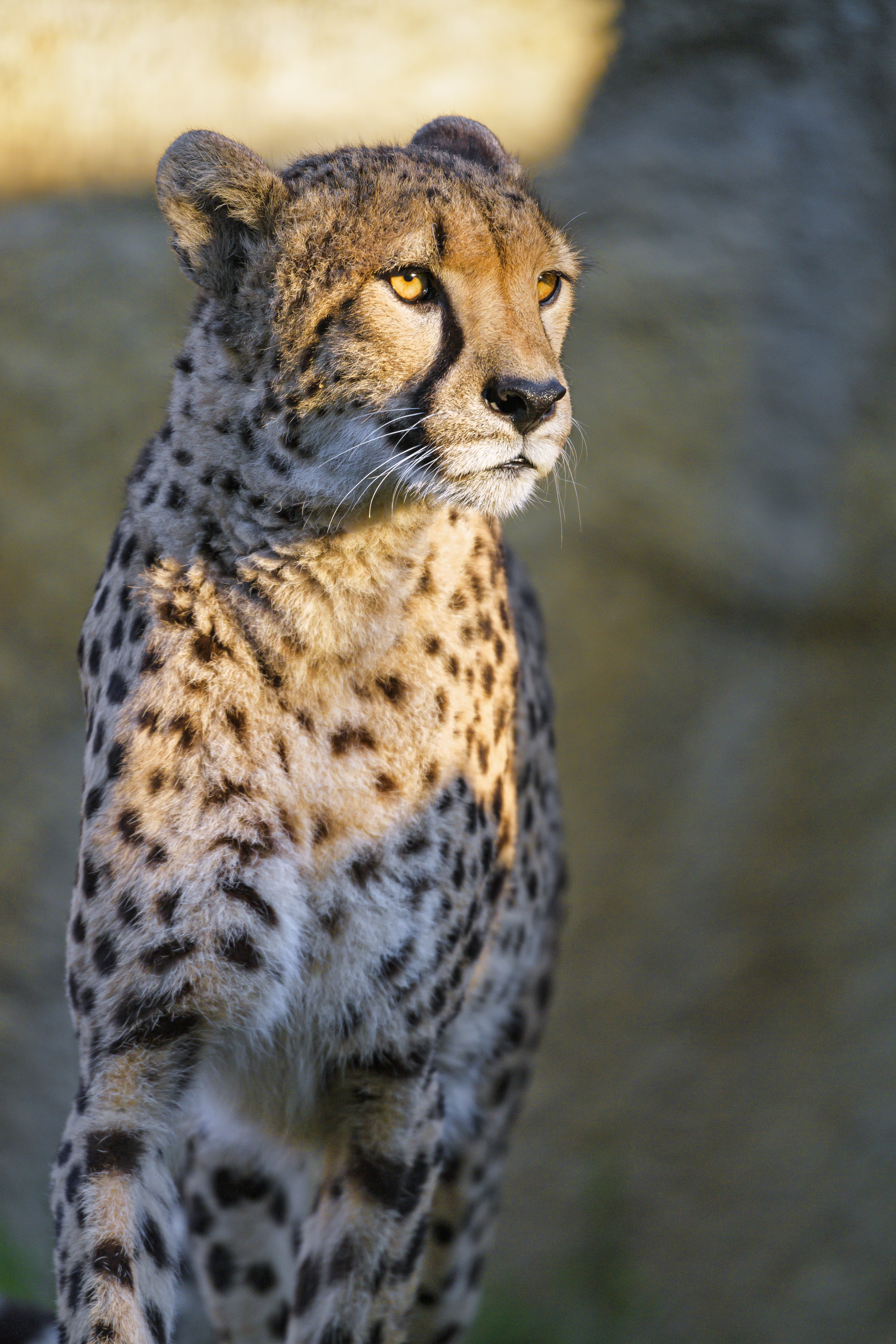 87843 download wallpaper Animals, Cheetah, Sight, Opinion, Animal, Predator, Big Cat screensavers and pictures for free
