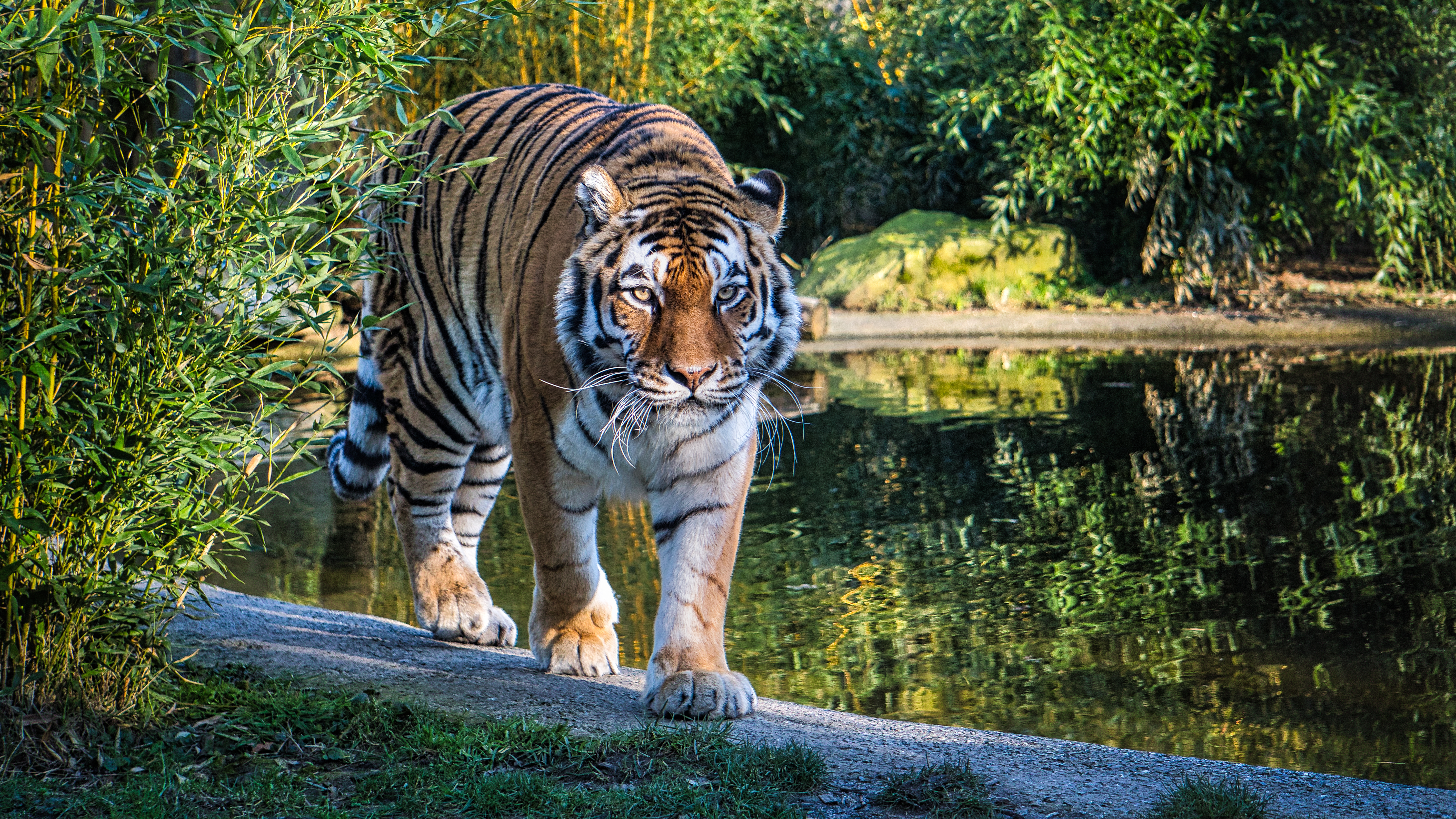 77361 download wallpaper Animals, Tiger, Big Cat, Sight, Opinion, Predator, Lake screensavers and pictures for free