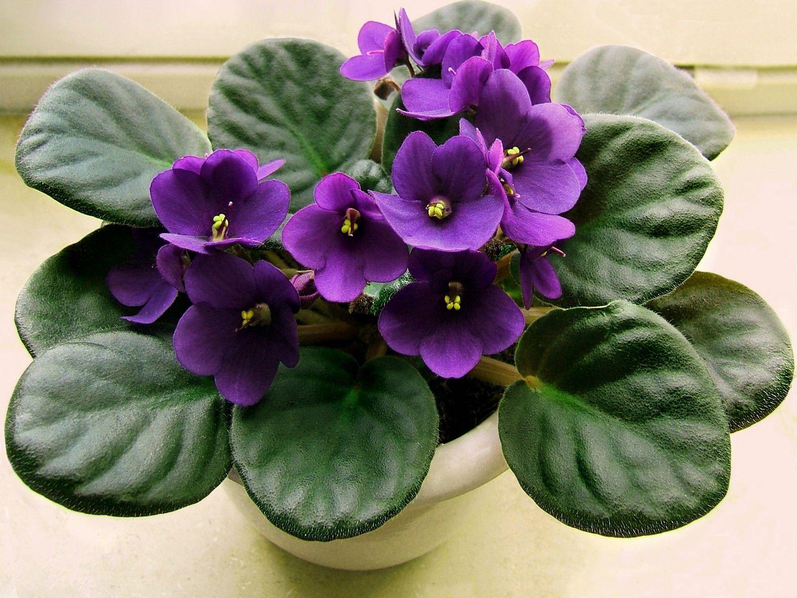 手機的113566屏保和壁紙紫罗兰。 免費下載 花卉, 紫色, 紫罗兰, 紫丁香, 丁香, 花, 锅, 房间, 客房 圖片