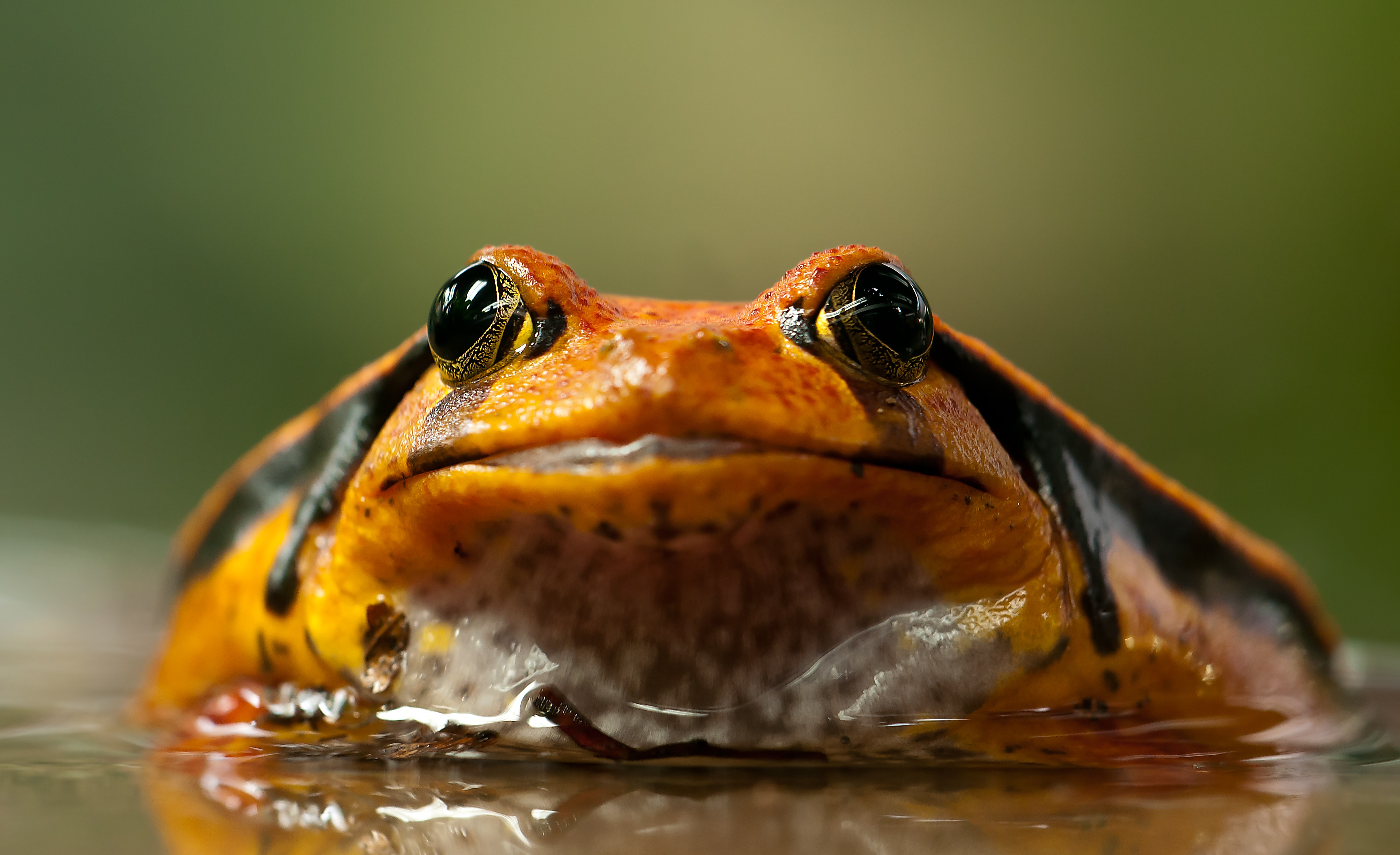 61151 download wallpaper Animals, Frog, Toad, Eyes screensavers and pictures for free