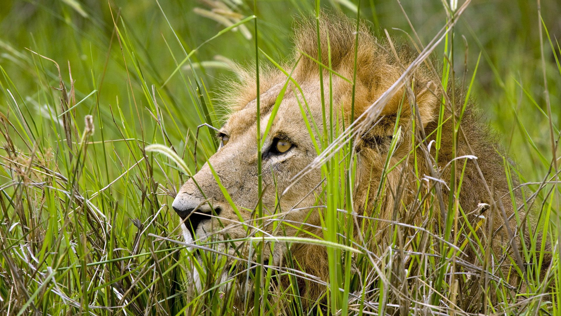 122592 download wallpaper Animals, Lion, Grass, Sit, Hide, Predator screensavers and pictures for free