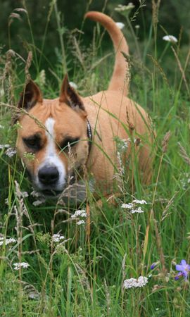 154625 download wallpaper Animals, Staffordshire Terrier, Dog, Run, Running, Grass, Muzzle screensavers and pictures for free