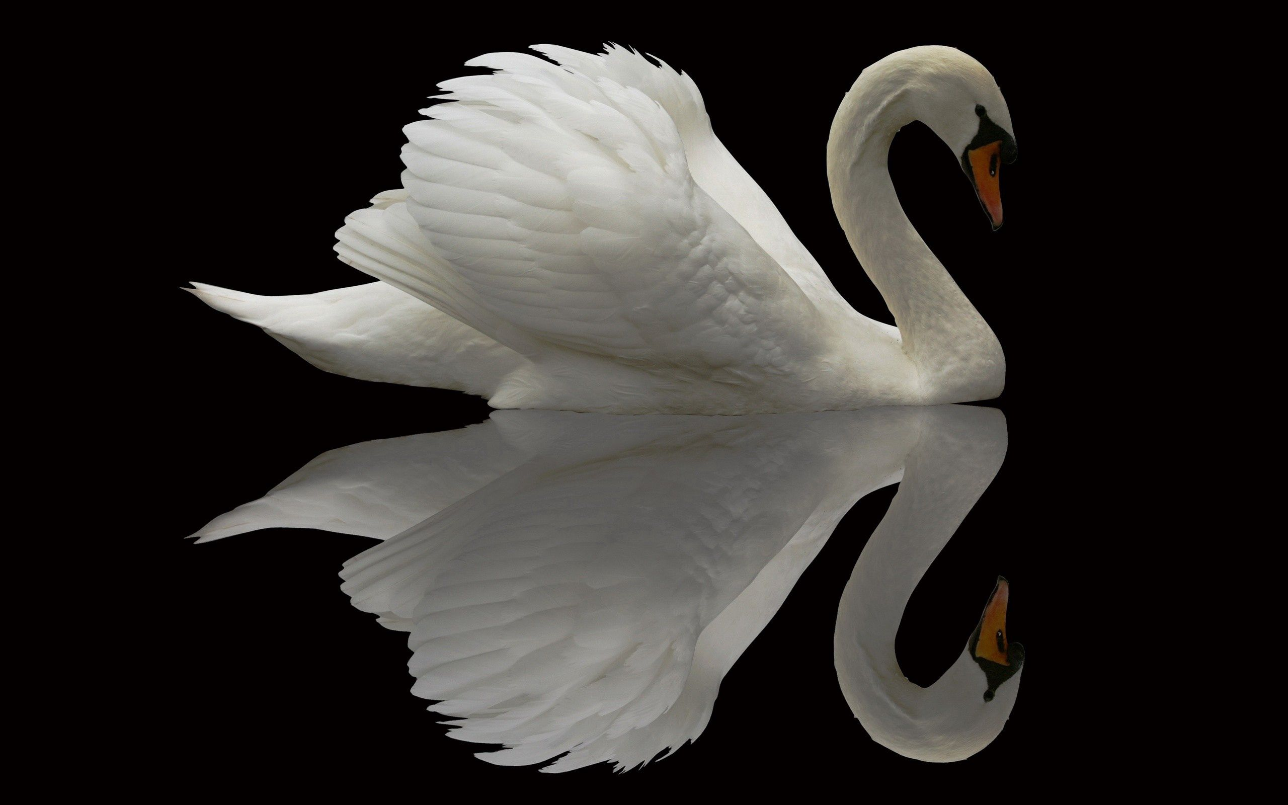 116993 Screensavers and Wallpapers Beautiful for phone. Download Animals, Bird, Beautiful, Swan, Grace, Plumage pictures for free