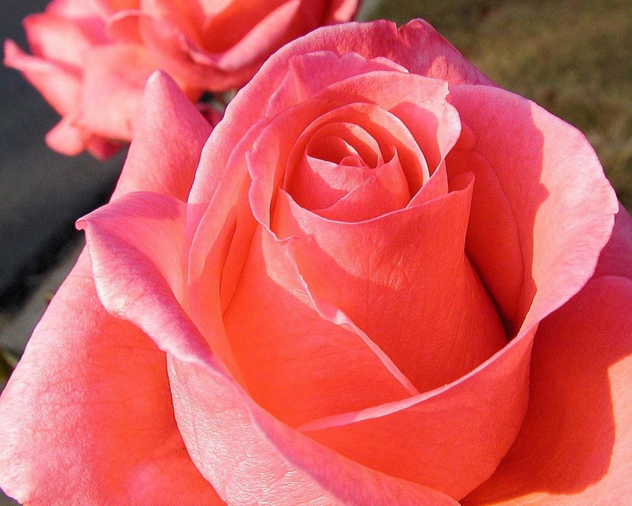 6782 скачать обои Растения, Цветы, Розы - заставки и картинки бесплатно