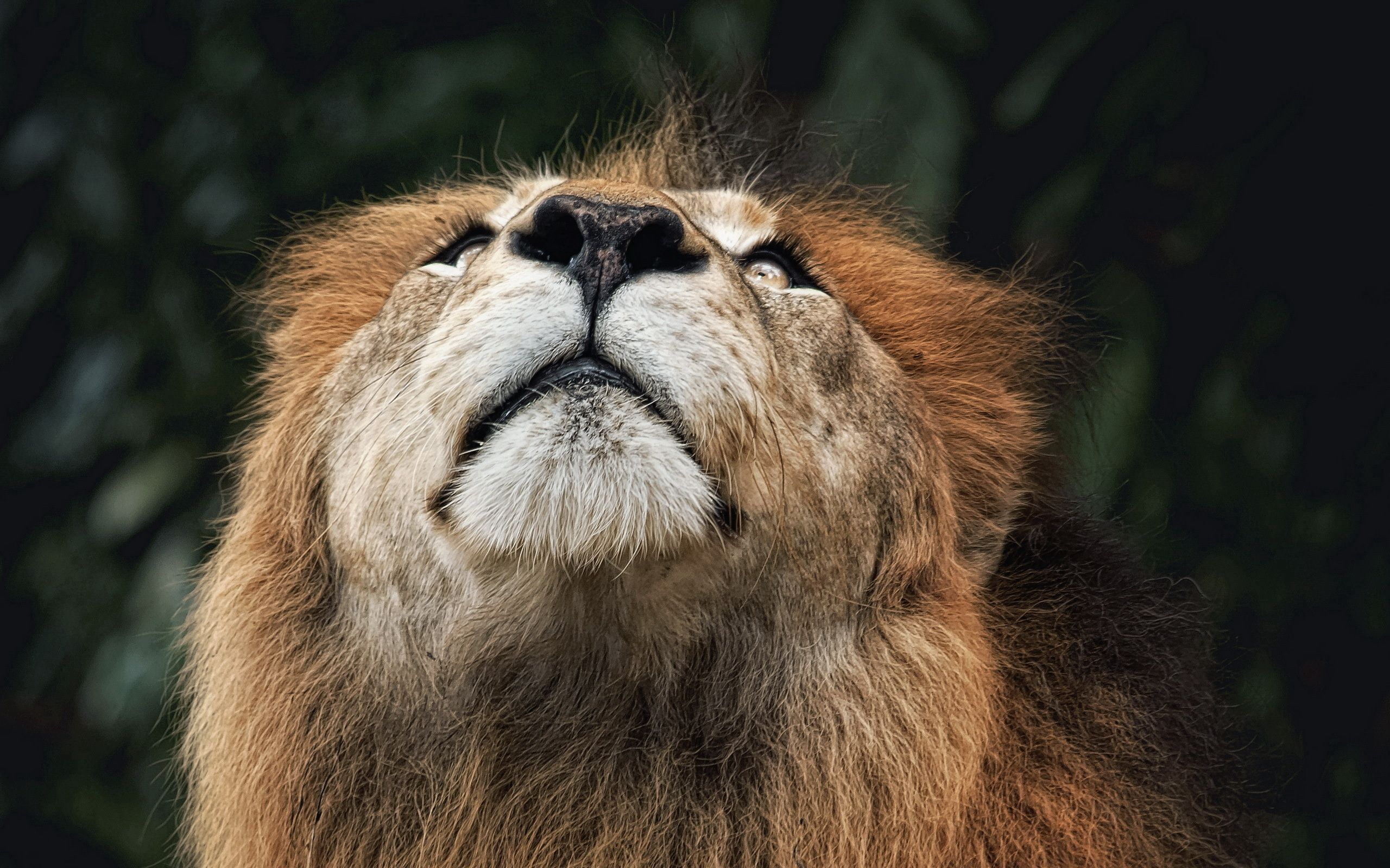 155042 download wallpaper Animals, Lion, Muzzle, Nose, Look Up, Looking Up screensavers and pictures for free
