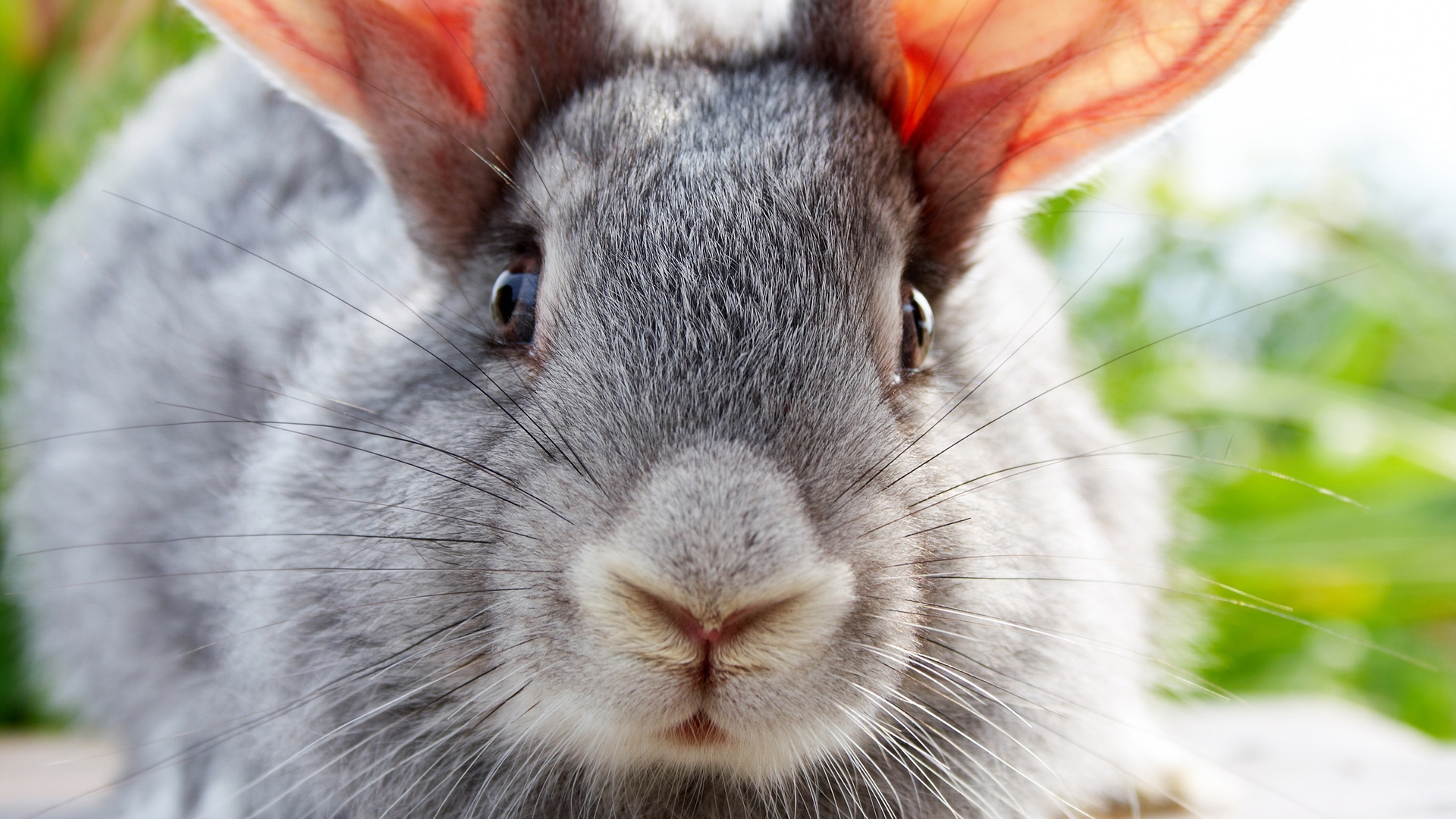 26174 download wallpaper Animals, Rabbits screensavers and pictures for free