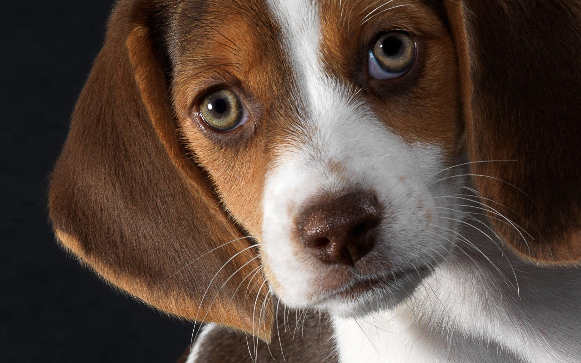 96959 download wallpaper Animals, Dog, Beagle, Puppy, Muzzle, Ears screensavers and pictures for free