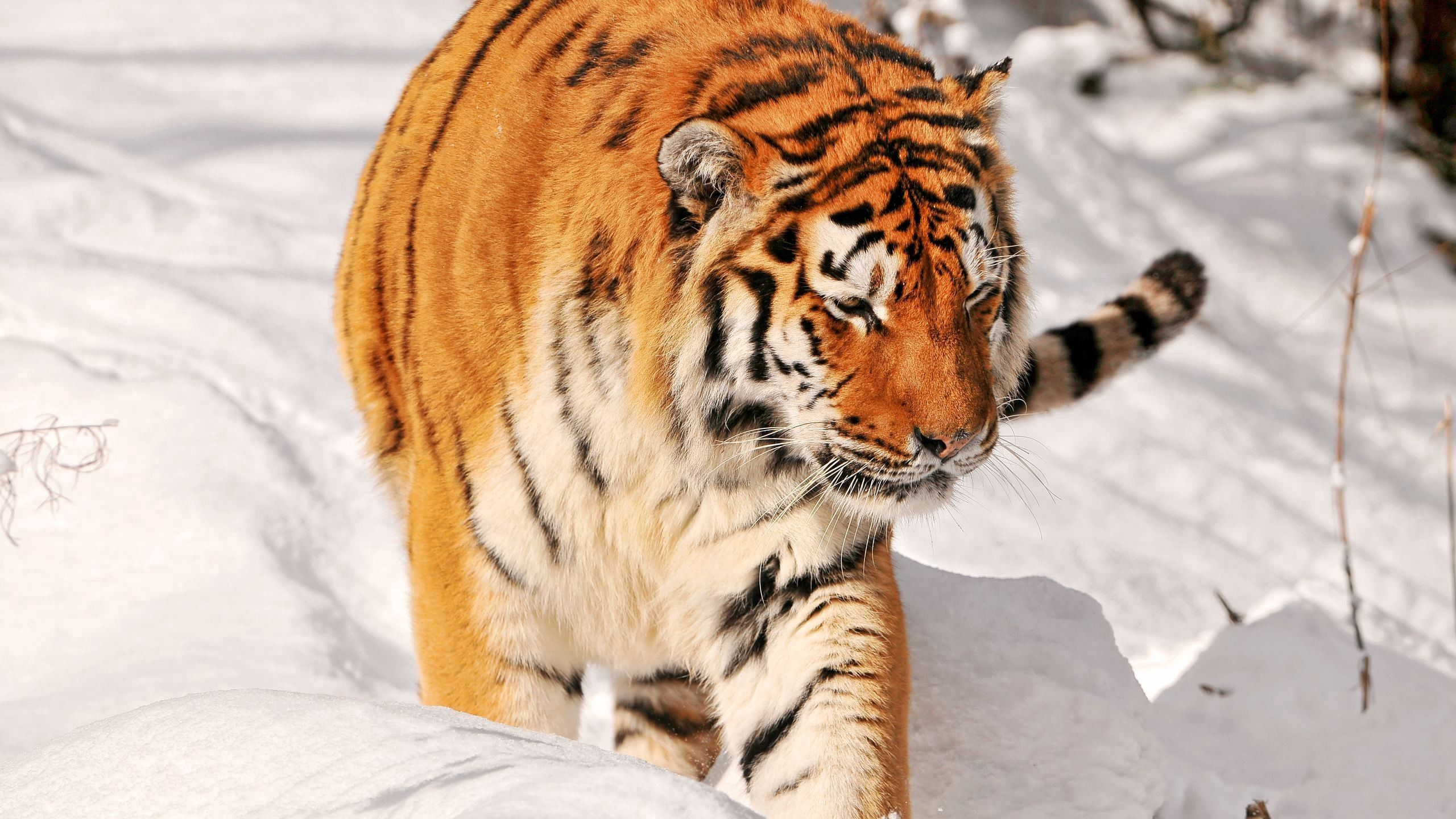 100531 download wallpaper Animals, Tiger, Snow, Stroll, Predator screensavers and pictures for free