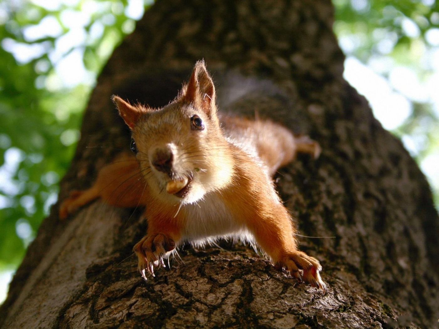37797 download wallpaper Animals, Squirrel screensavers and pictures for free