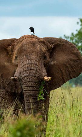 148402 скачать обои Животные, Слон, Хобот, Птица, Саванна - заставки и картинки бесплатно