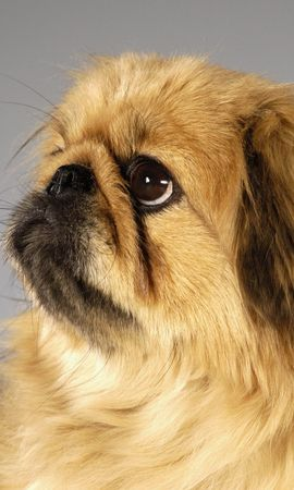 5690 download wallpaper Animals, Dogs, Pekingese screensavers and pictures for free