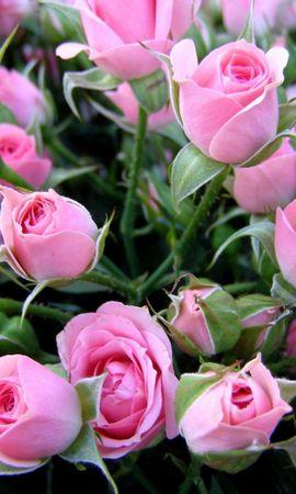 144518 скачать обои Цветы, Букет, Нежные, Бутоны, Розы - заставки и картинки бесплатно
