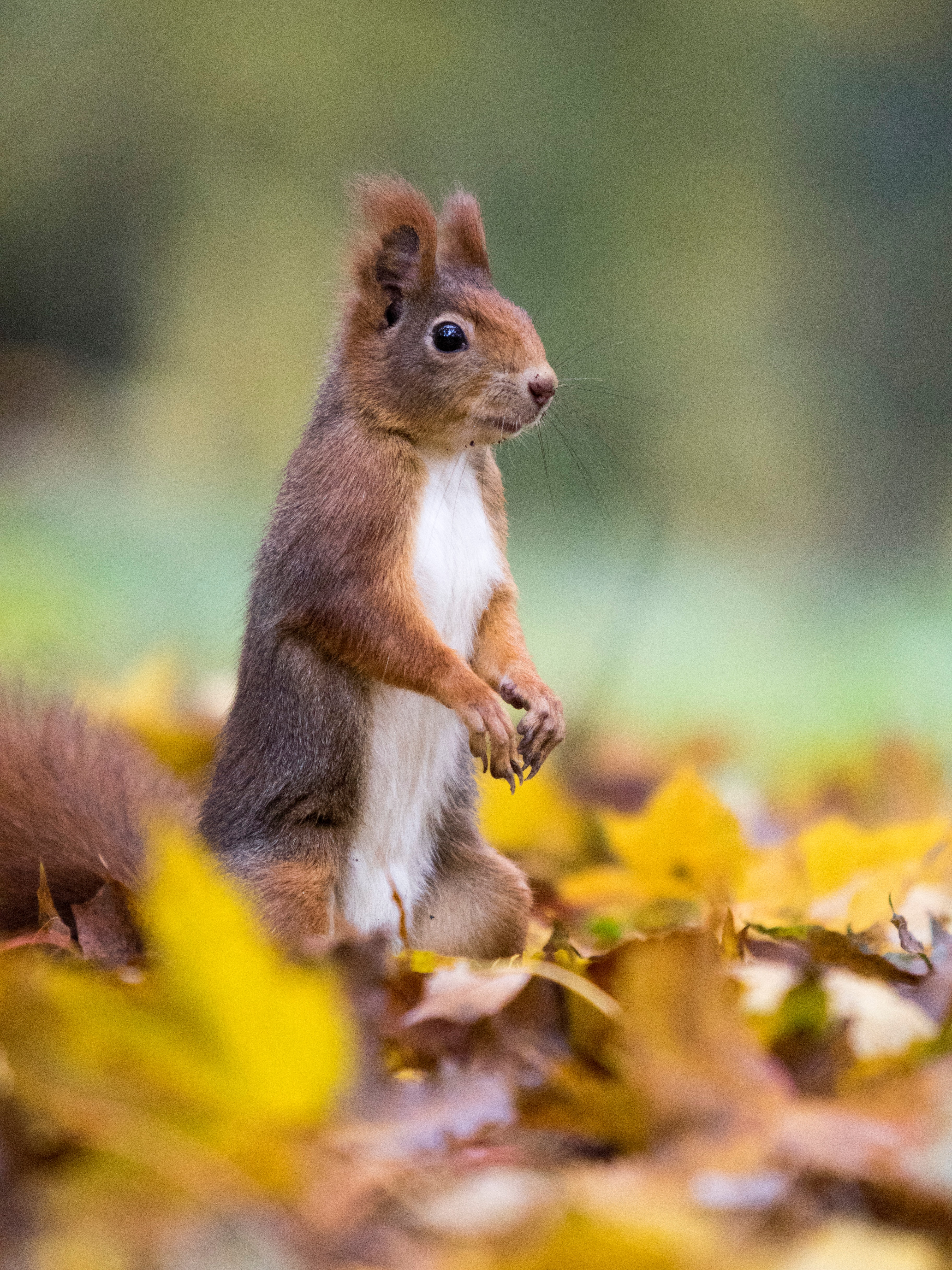 111174 download wallpaper Animals, Squirrel, Nice, Sweetheart, Funny, Animal, Leaves screensavers and pictures for free