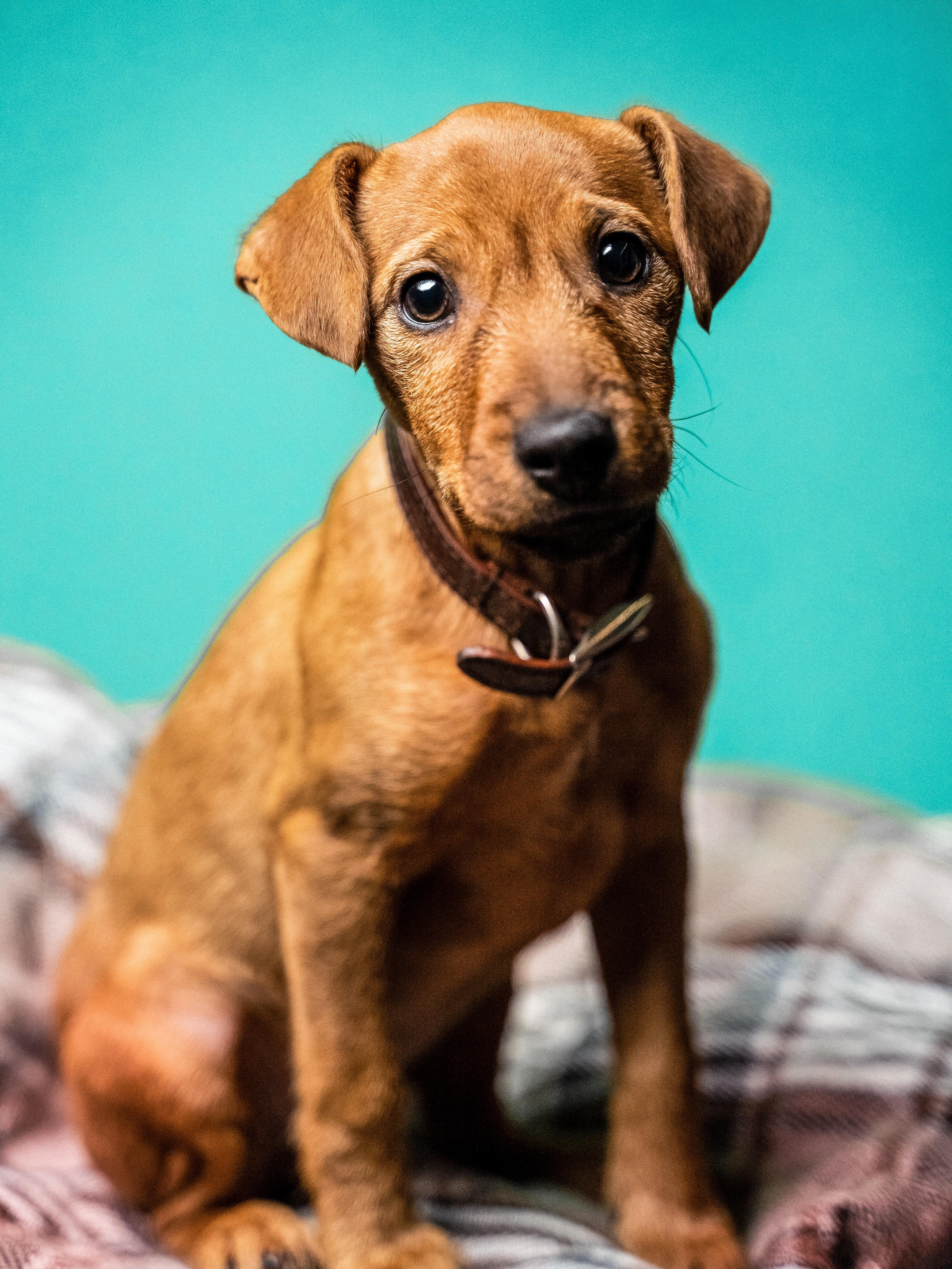 113450 Hintergrundbild herunterladen Tiere, Hund, Haustier, Sicht, Meinung, Nett, Schatz, Zwergpinscher, Zwergpincher - Bildschirmschoner und Bilder kostenlos