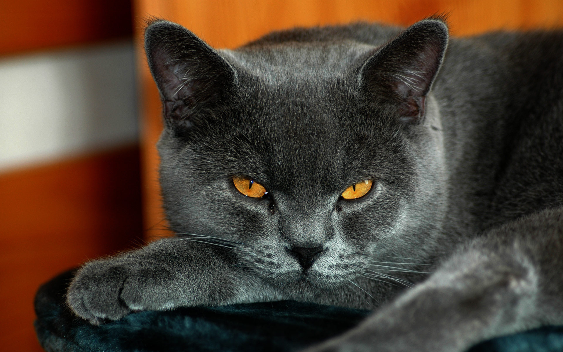 15909 download wallpaper Animals, Cats screensavers and pictures for free