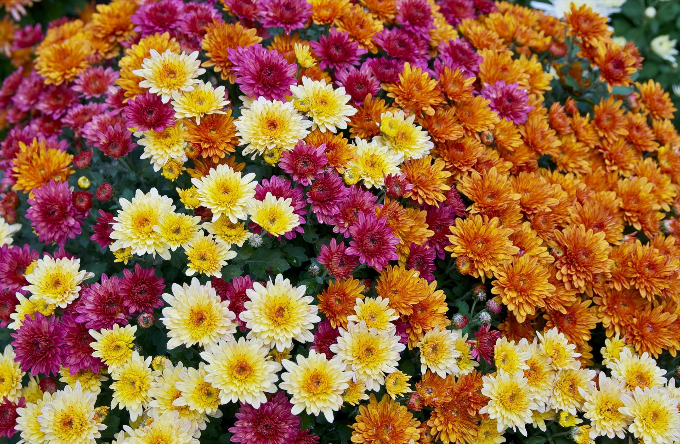 108997 Screensavers and Wallpapers Chrysanthemum for phone. Download Flowers, Chrysanthemum, Bright, Lot, Diversity, Variety pictures for free