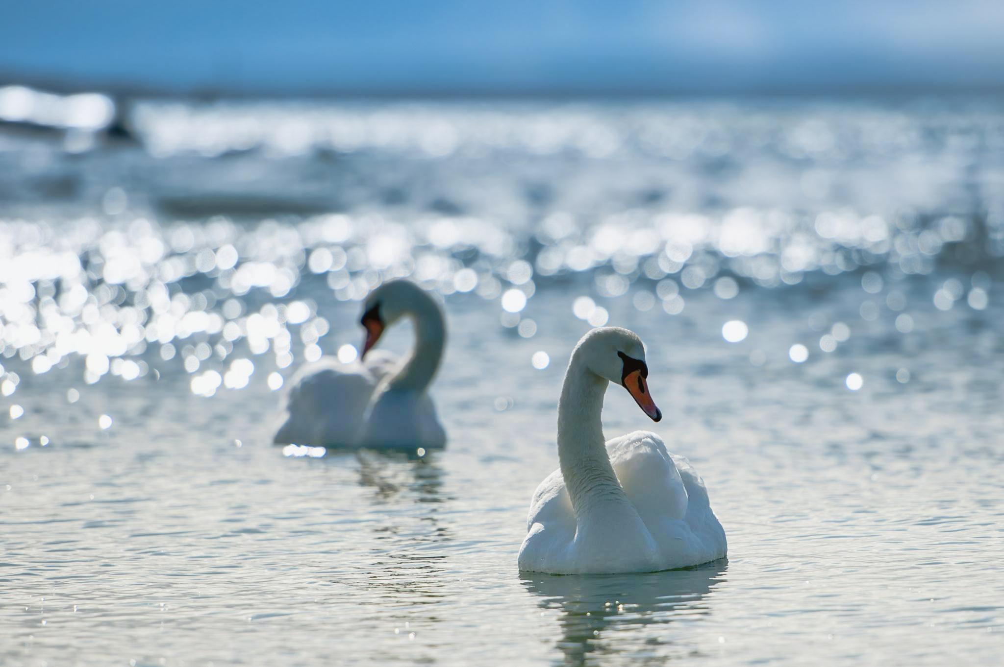 147971 Hintergrundbild herunterladen Tiere, Vögel, Flüsse, Sea, Swans, Schwimmen, See, Scheinen, Licht, Paar, Brillanz, Anmut, Gnade, Hingabe - Bildschirmschoner und Bilder kostenlos