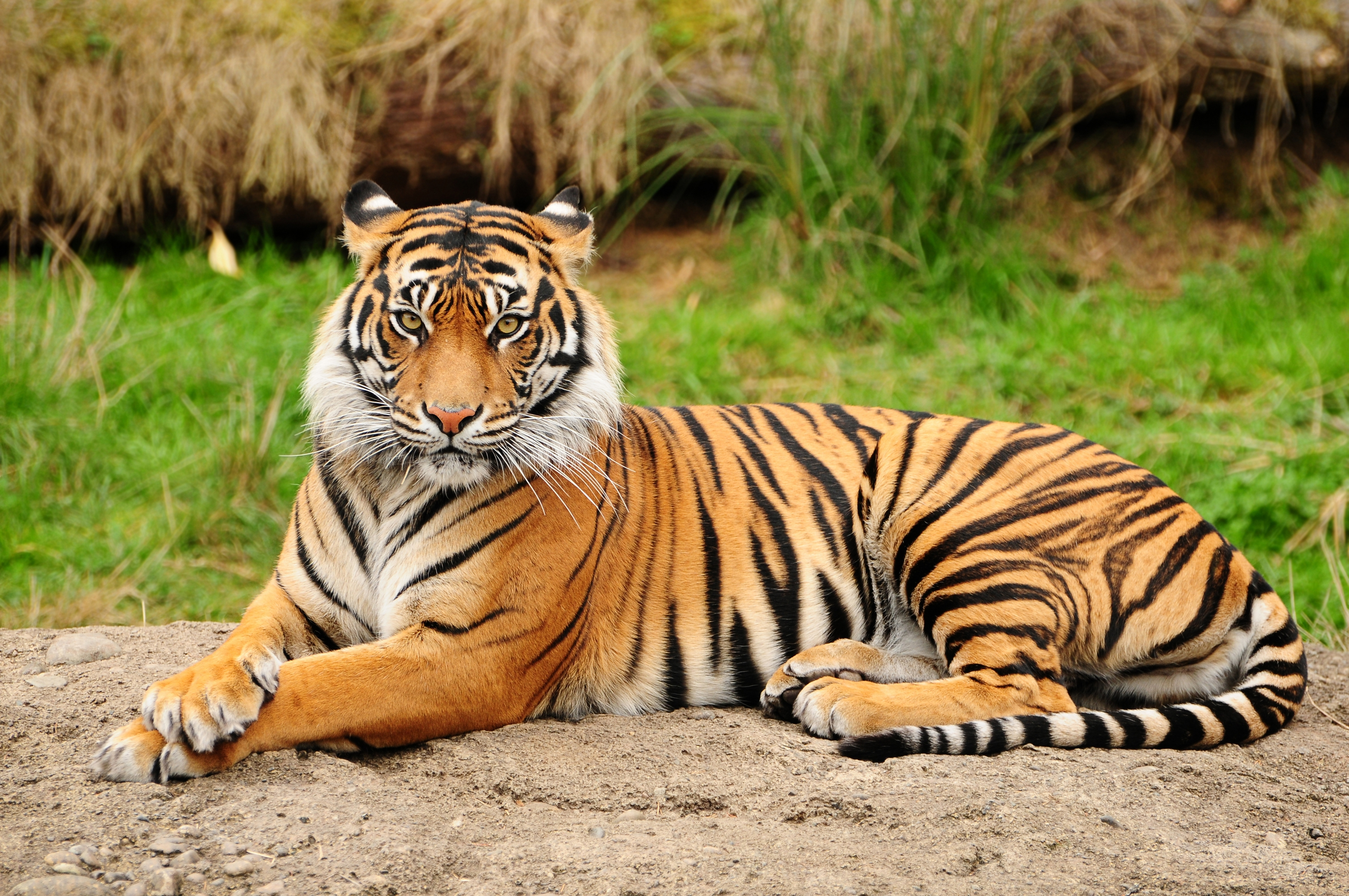 55960 download wallpaper Animals, Tiger, To Lie Down, Lie, Big Cat, Predator, Nature screensavers and pictures for free