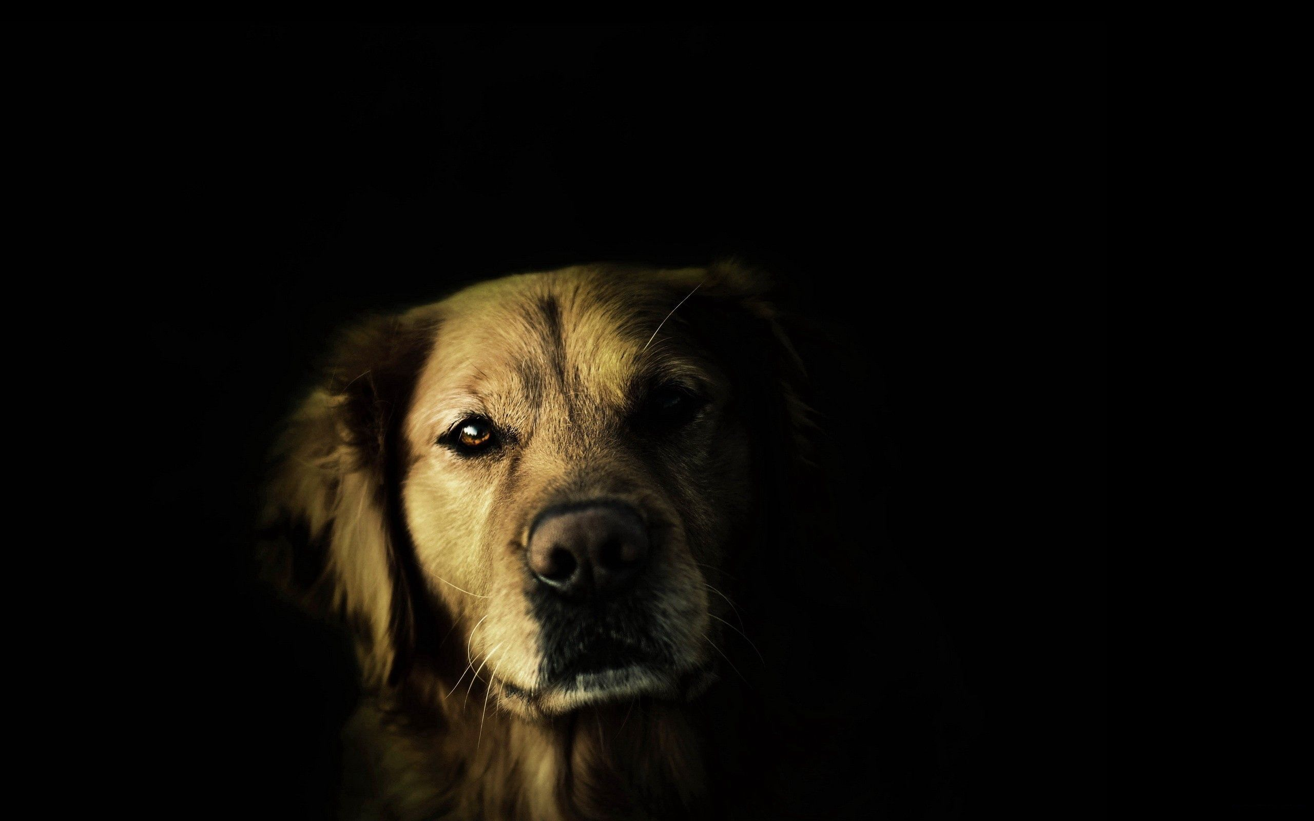 141371 Screensavers and Wallpapers Nose for phone. Download Dark, Dog, Muzzle, Shadow, Sight, Opinion, Nose pictures for free
