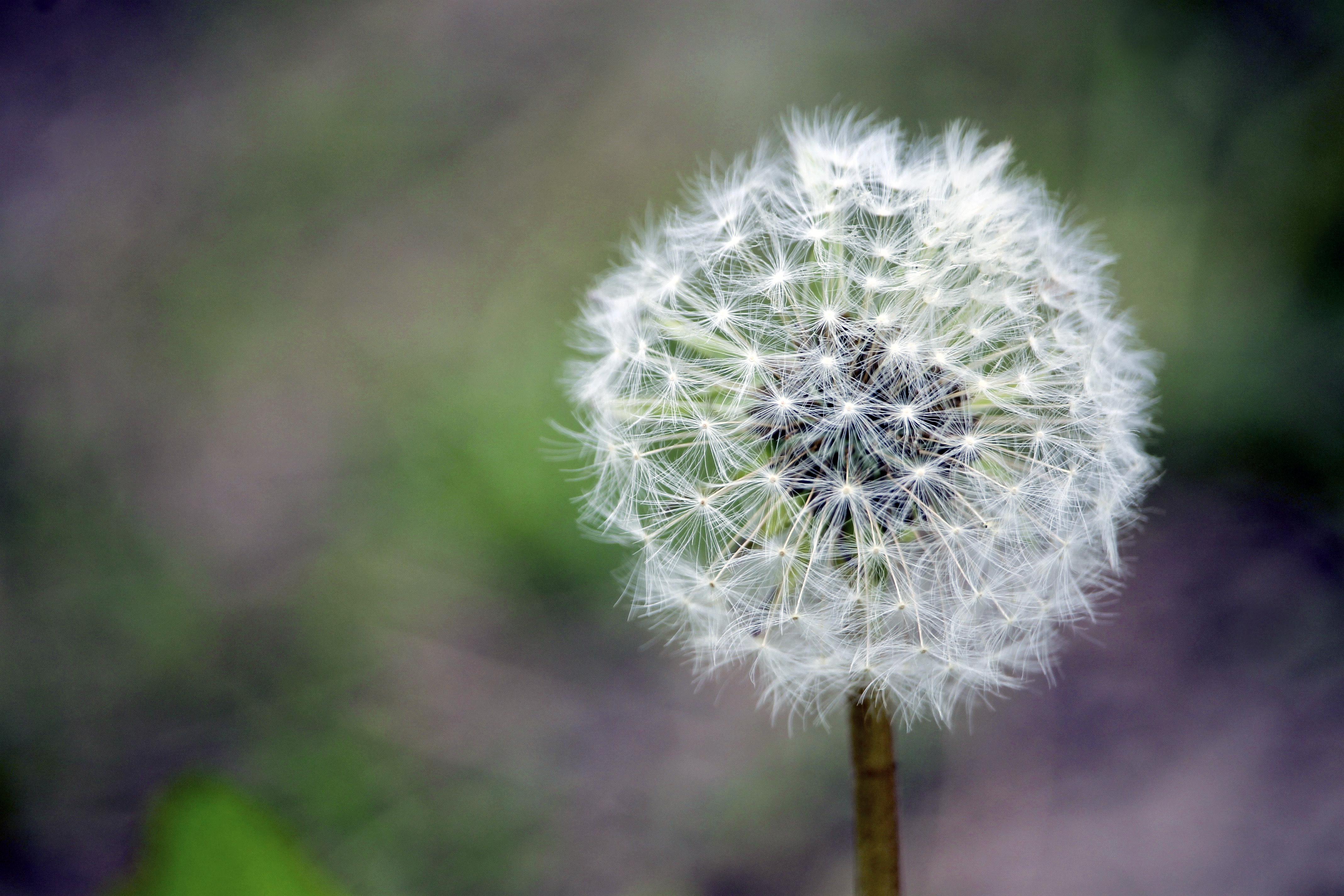 104378 Hintergrundbild herunterladen Blumen, Löwenzahn, Blume, Stengel, Stiel, Flaum, Fuzz - Bildschirmschoner und Bilder kostenlos