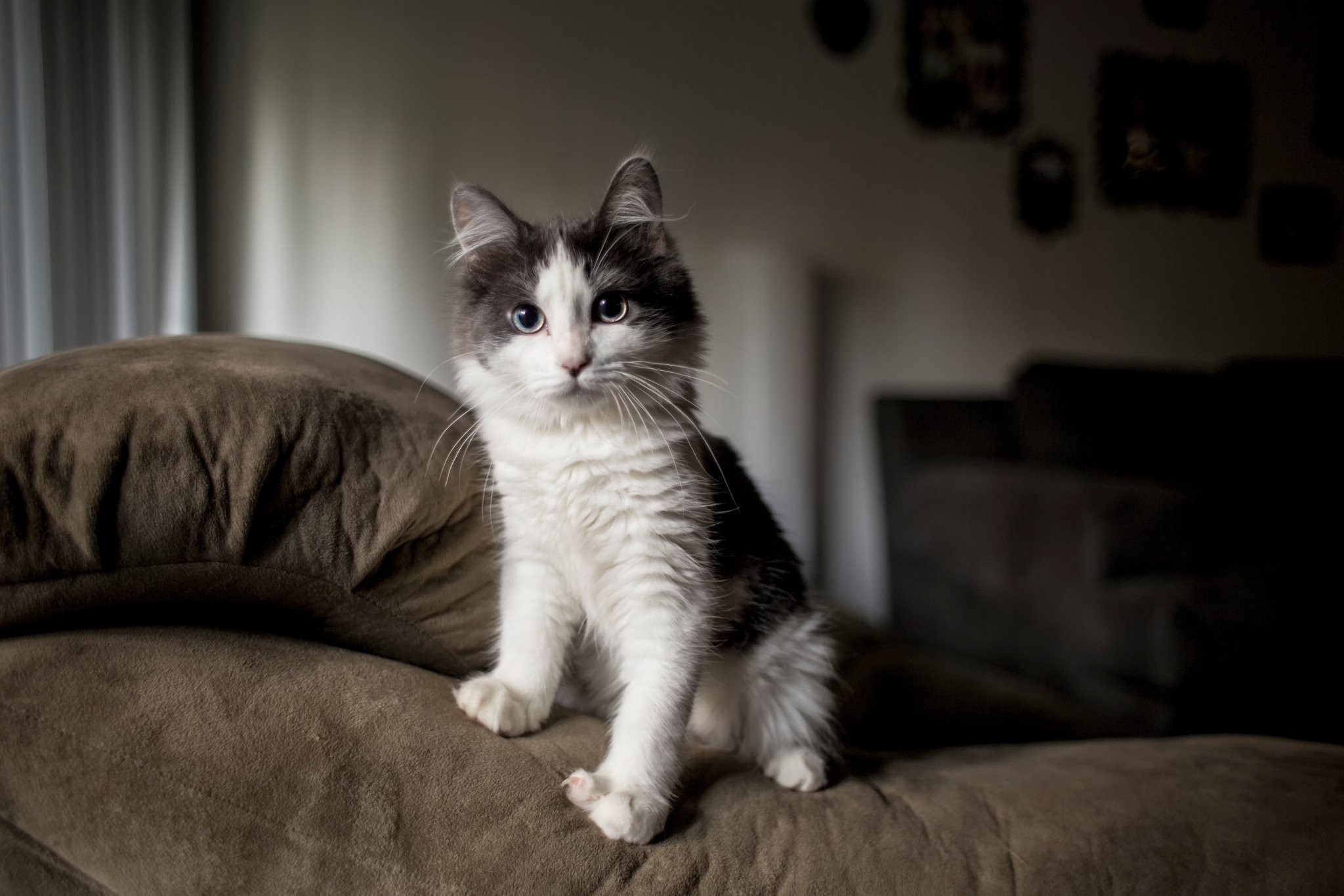 139207 Screensavers and Wallpapers Kitten for phone. Download Animals, Fluffy, Kitty, Kitten, Spotted, Spotty, Sofa pictures for free