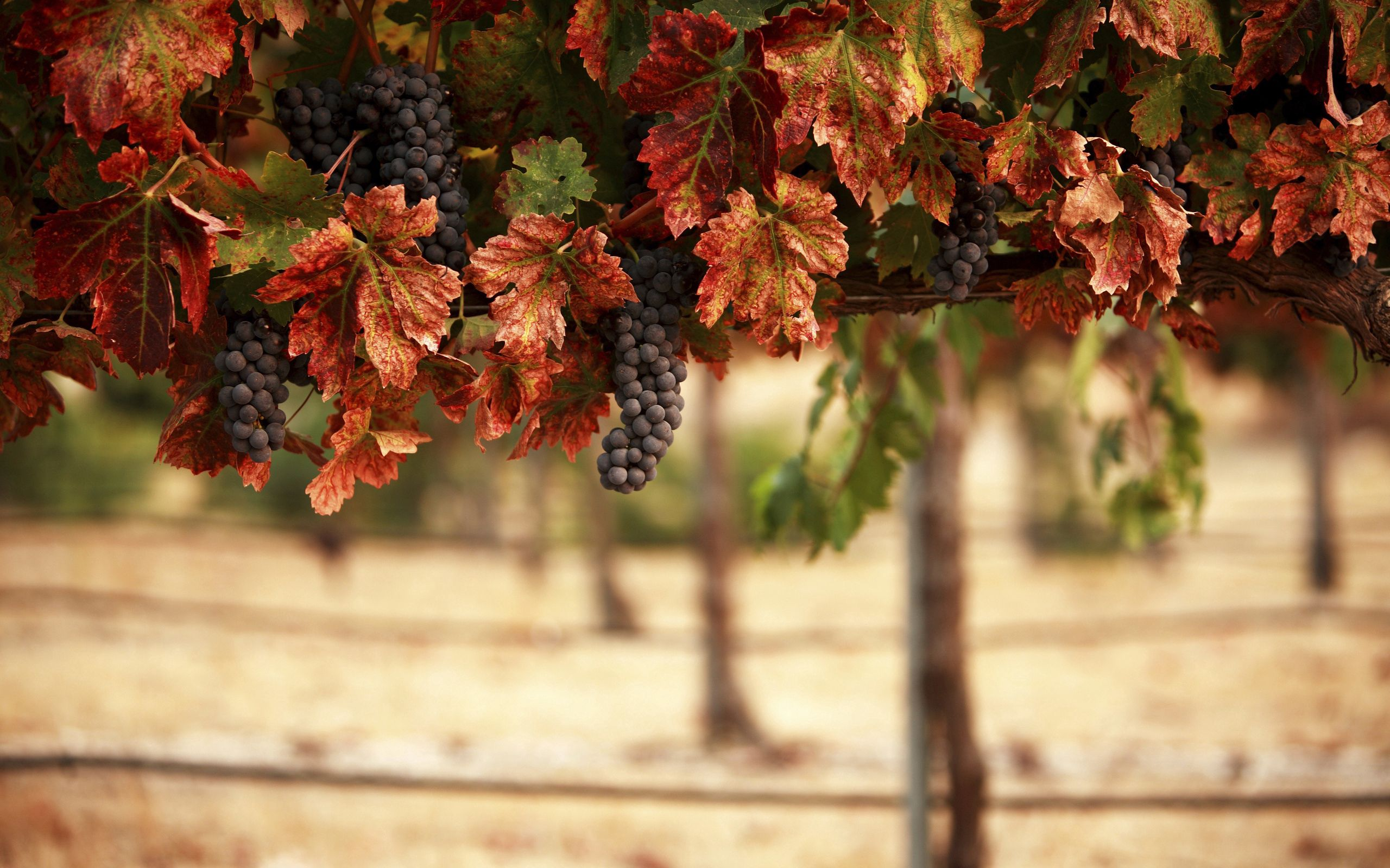 114931 Screensavers and Wallpapers Landscape for phone. Download Food, Nature, Leaves, Blur, Vineyard, Bunches, Grapes, Landscape pictures for free