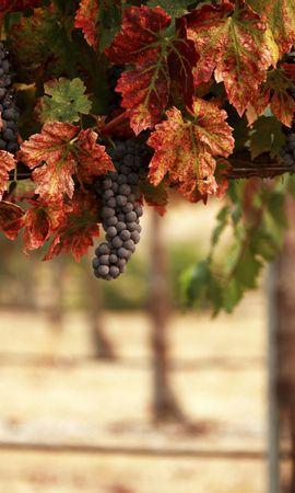 114931 скачать обои Еда, Природа, Листья, Blur, Виноградник, Гроздья, Пейзаж - заставки и картинки бесплатно