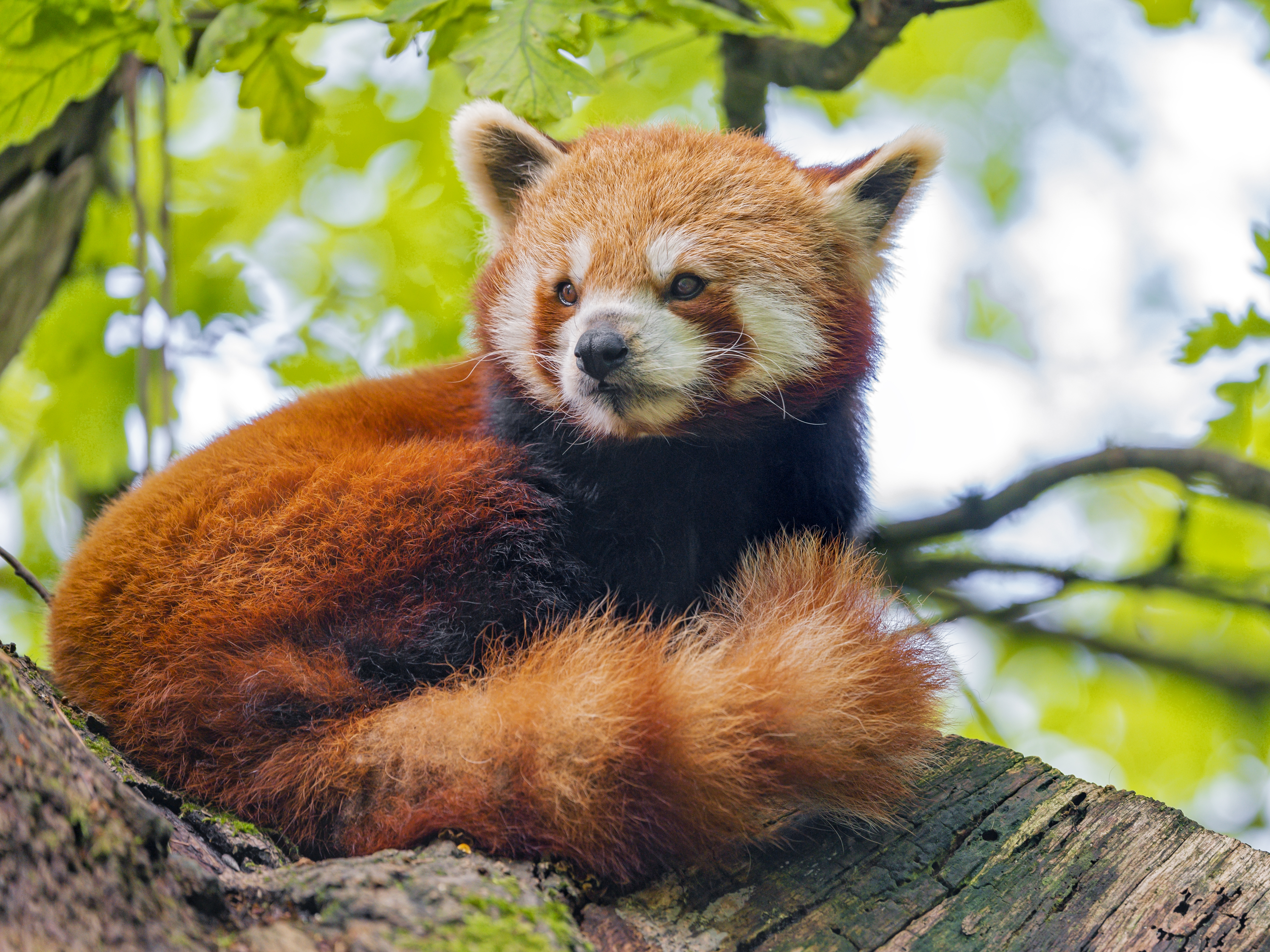 110884 download wallpaper Animals, Red Panda, Panda, Sight, Opinion, Animal, Wood, Tree screensavers and pictures for free