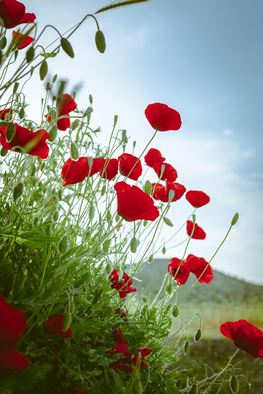 151564 скачать обои Цветы, Маки, Красный, Растение, Цветение - заставки и картинки бесплатно