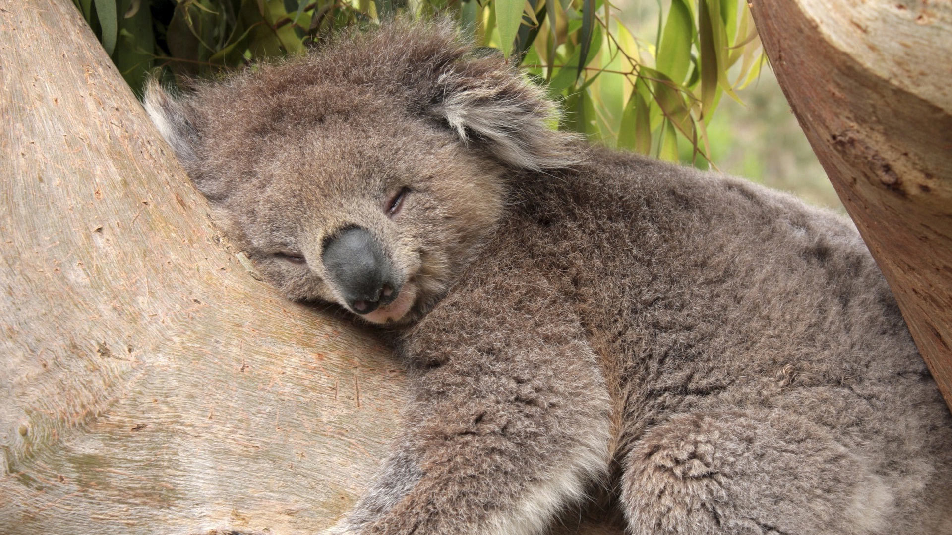 19853 download wallpaper Animals, Koalas screensavers and pictures for free