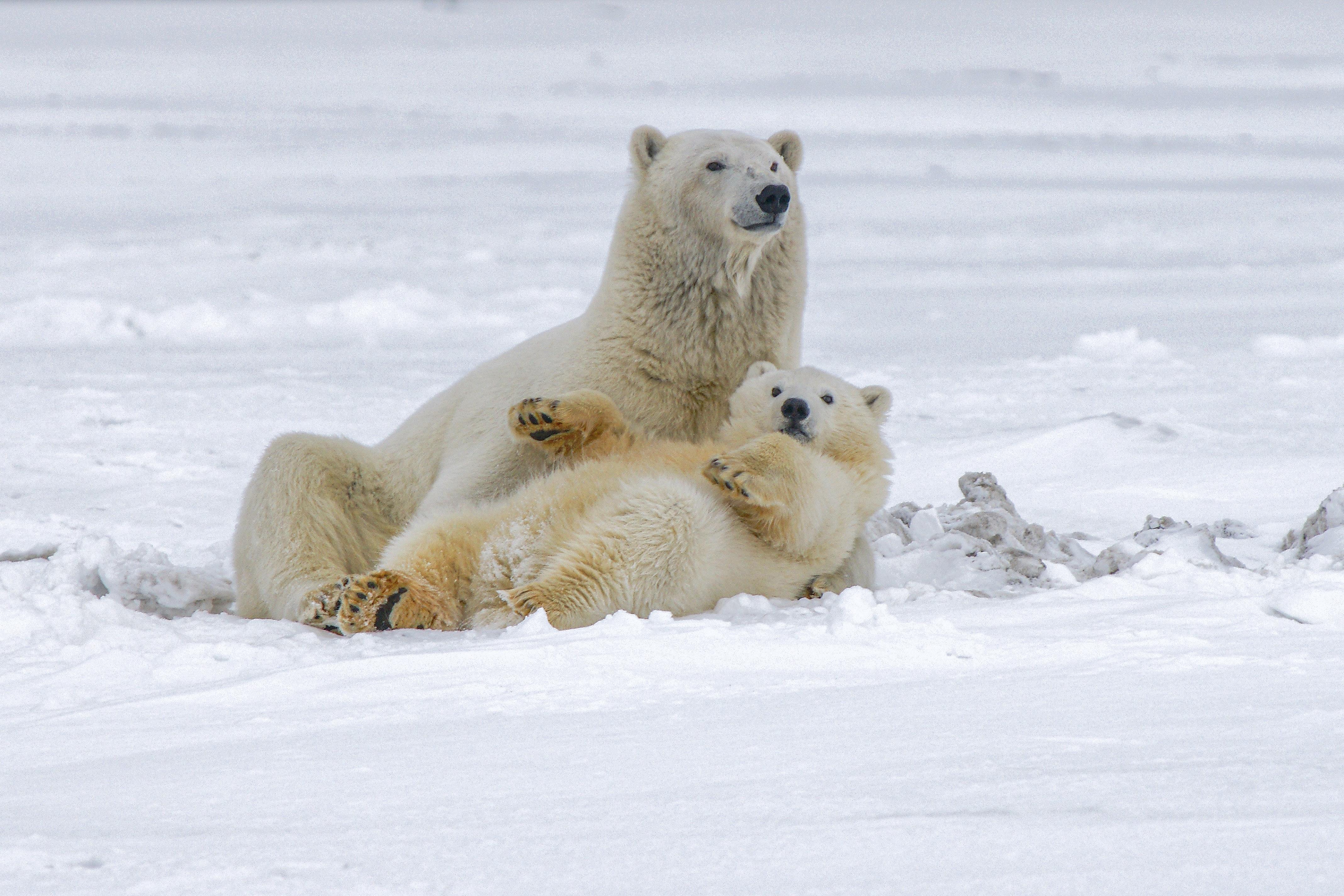 72574 Заставки и Обои Медведи на телефон. Скачать Медведи, Животные, Снег, Белый, Полярные Медведи картинки бесплатно