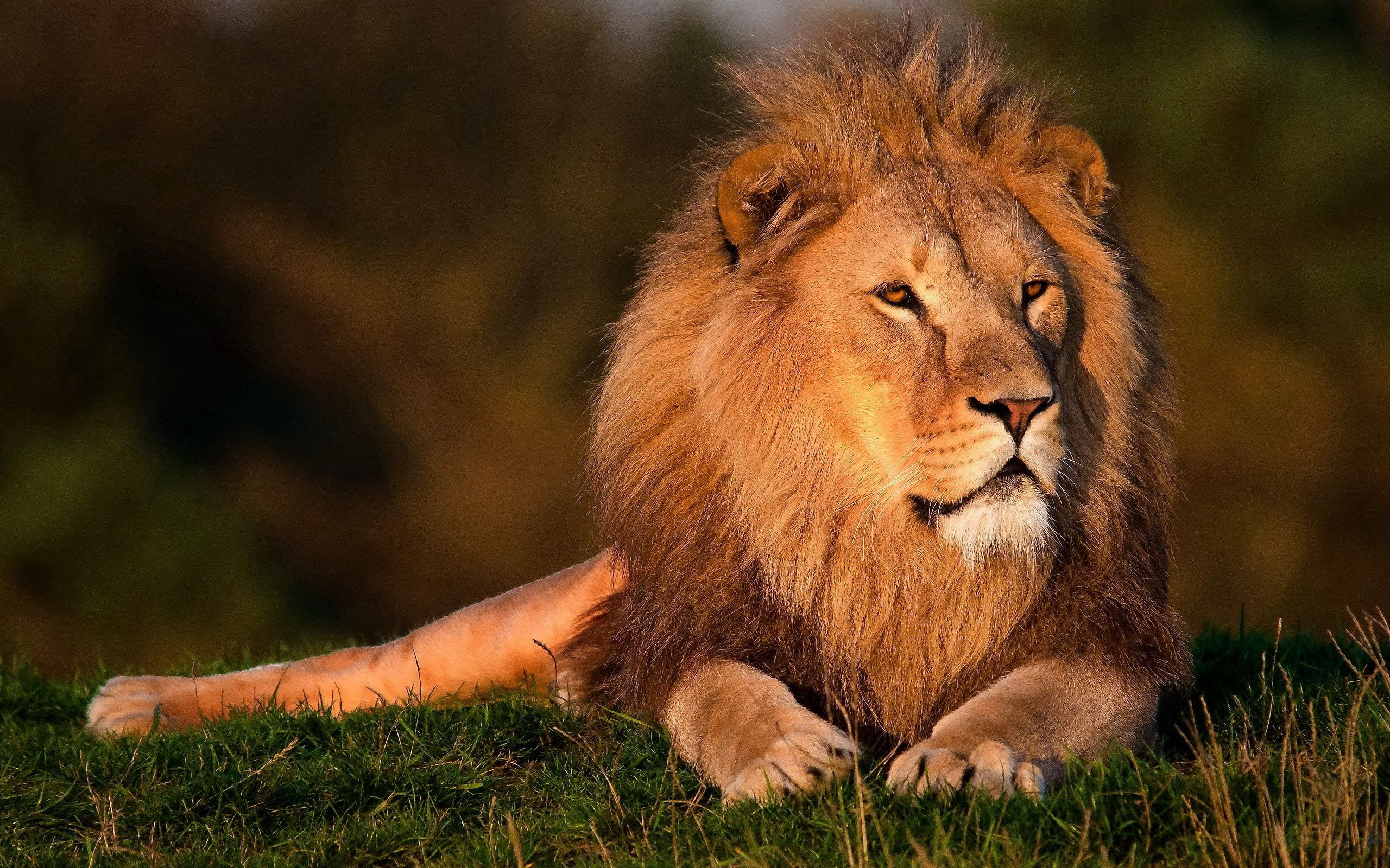 100118 download wallpaper Animals, Lion, Grass, Big Cat, King Of Beasts, King Of The Beasts, Mane screensavers and pictures for free