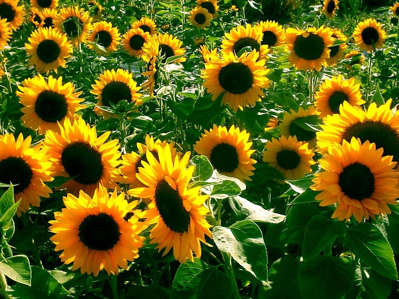 8182 Hintergrundbild herunterladen Pflanzen, Hintergrund, Sonnenblumen, Blumen - Bildschirmschoner und Bilder kostenlos