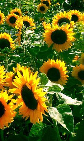 8182 скачать обои Растения, Цветы, Фон, Подсолнухи - заставки и картинки бесплатно