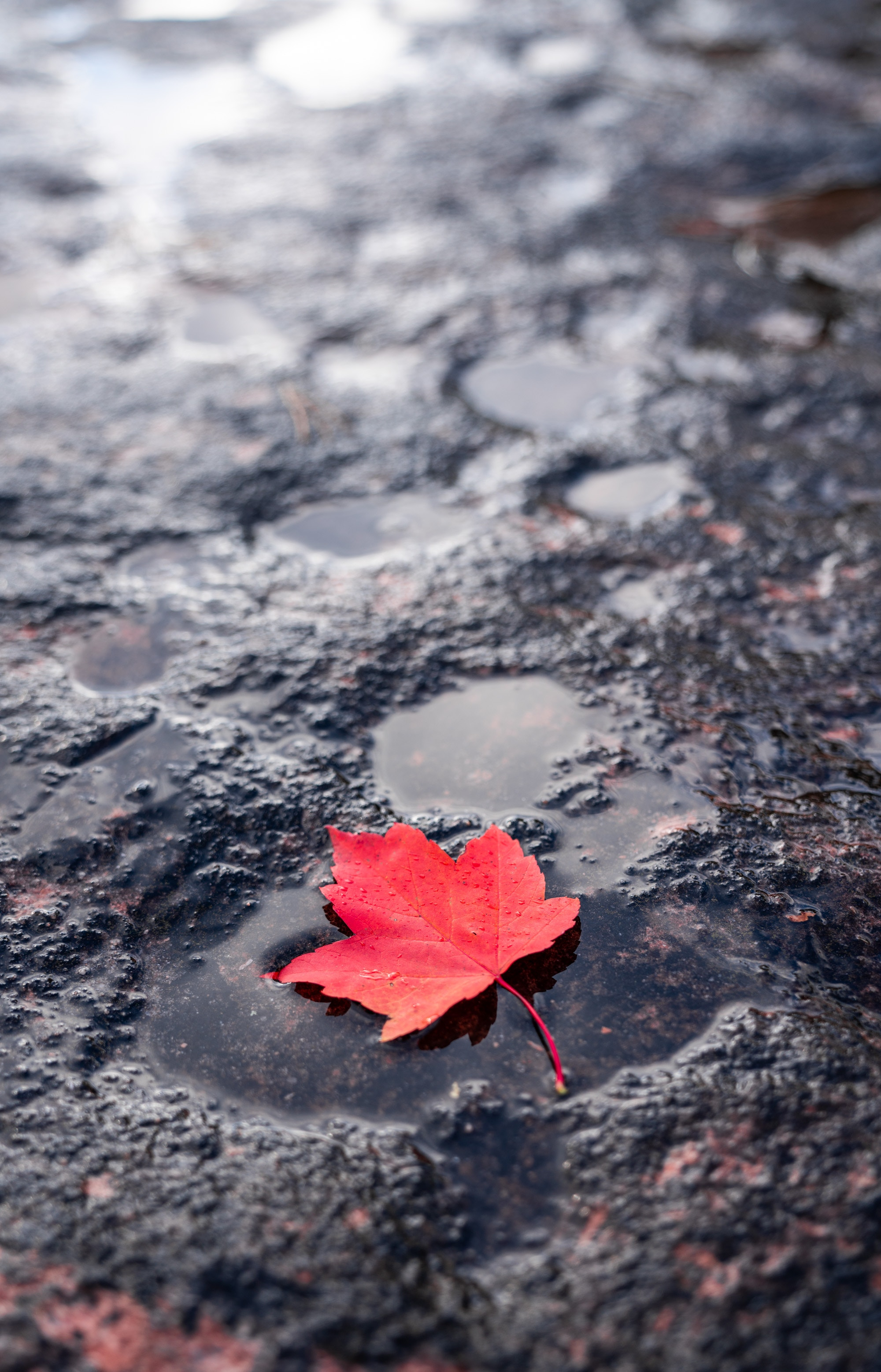 87389 download wallpaper Macro, Sheet, Leaf, Puddle, Maple, Wet, After The Rain screensavers and pictures for free