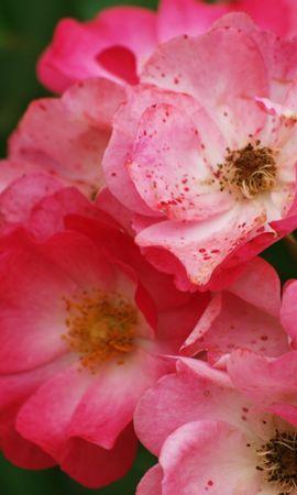 4513 скачать обои Растения, Цветы - заставки и картинки бесплатно