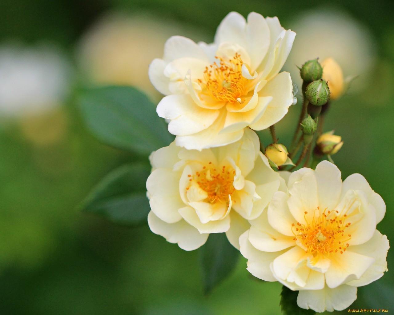 18118 скачать обои Растения, Цветы - заставки и картинки бесплатно