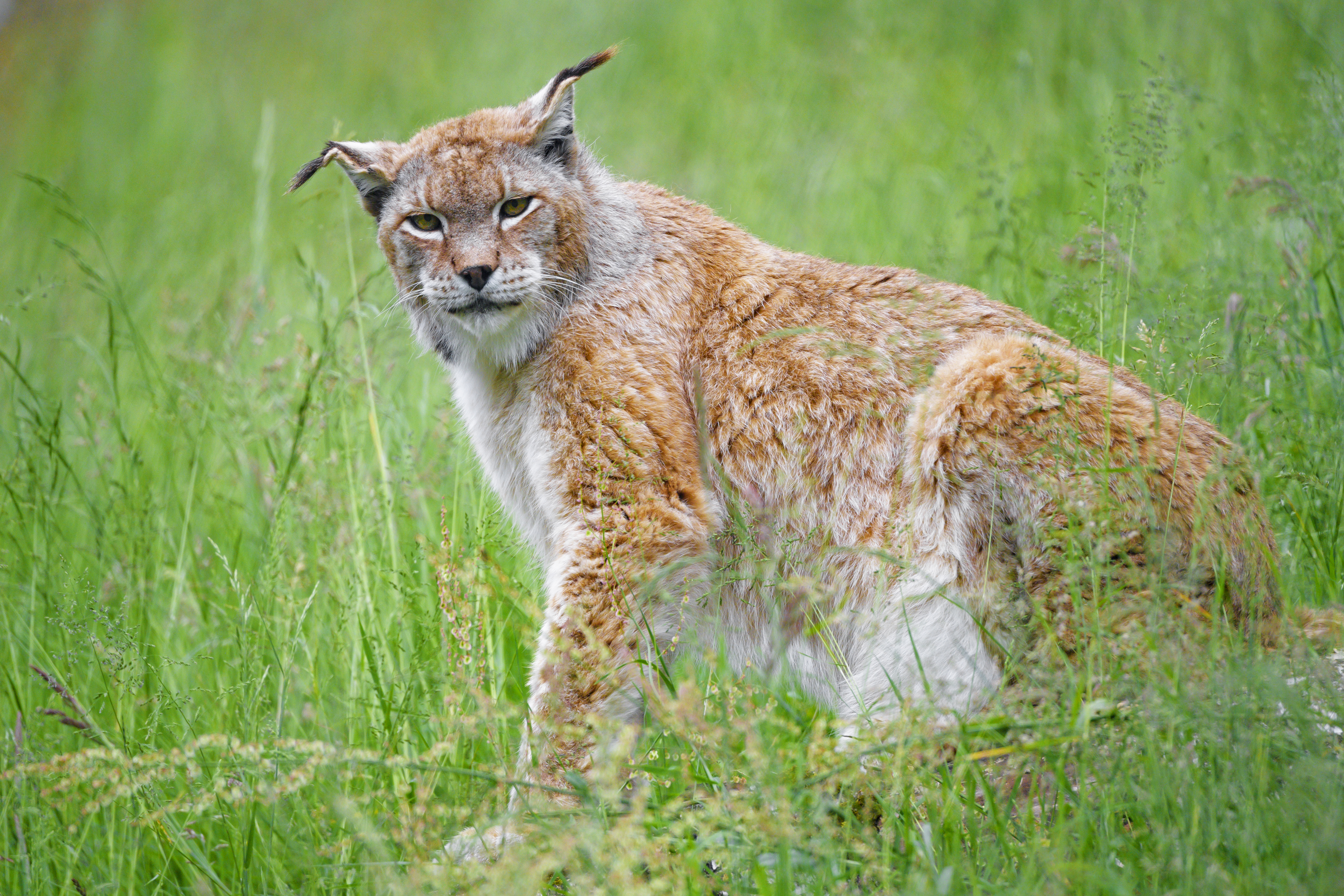 104333 download wallpaper Animals, Iris, Big Cat, Sight, Opinion, Animal, Plants screensavers and pictures for free